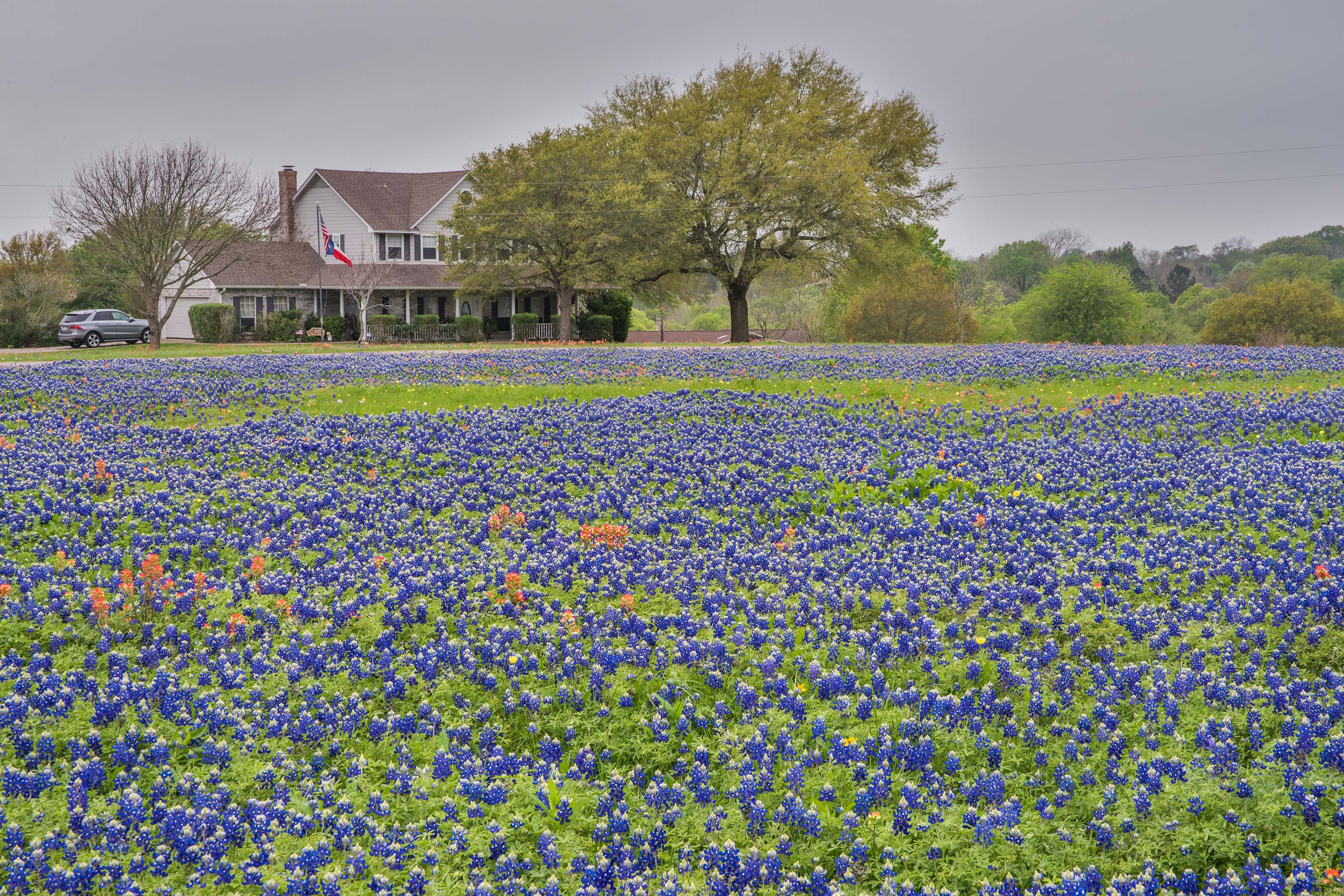 A farm with bluebonnet (Lupinus) flowers north from Chappell Hill. Texas