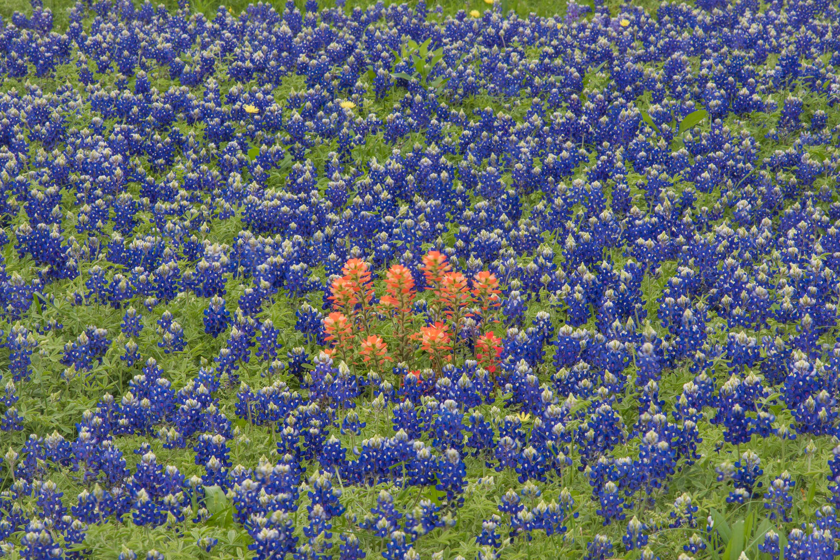 Bluebonnets and paintbrush north from Chappell Hill. Texas