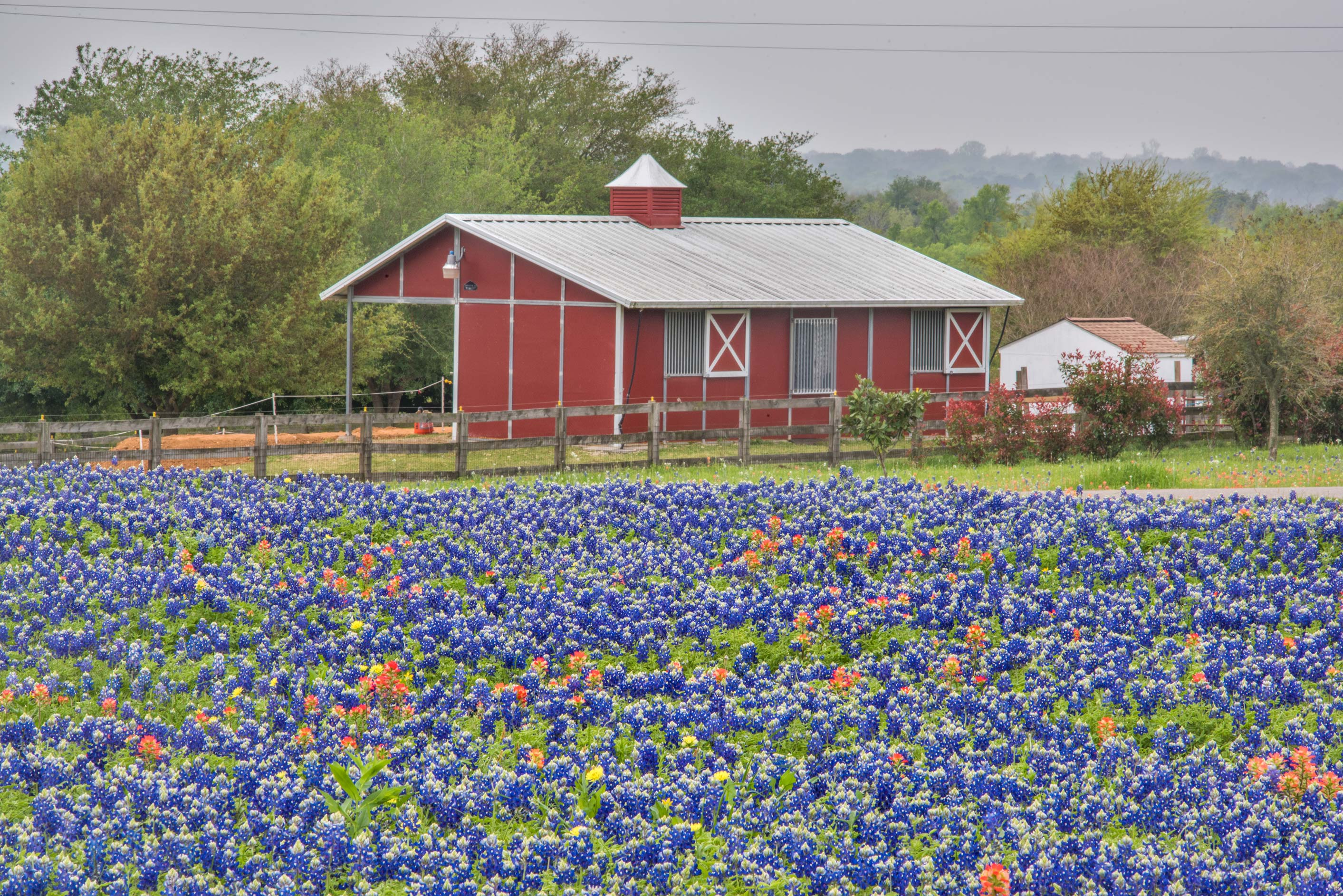 A farm house with bluebonnets (Lupinus) north from Chappell Hill. Texas