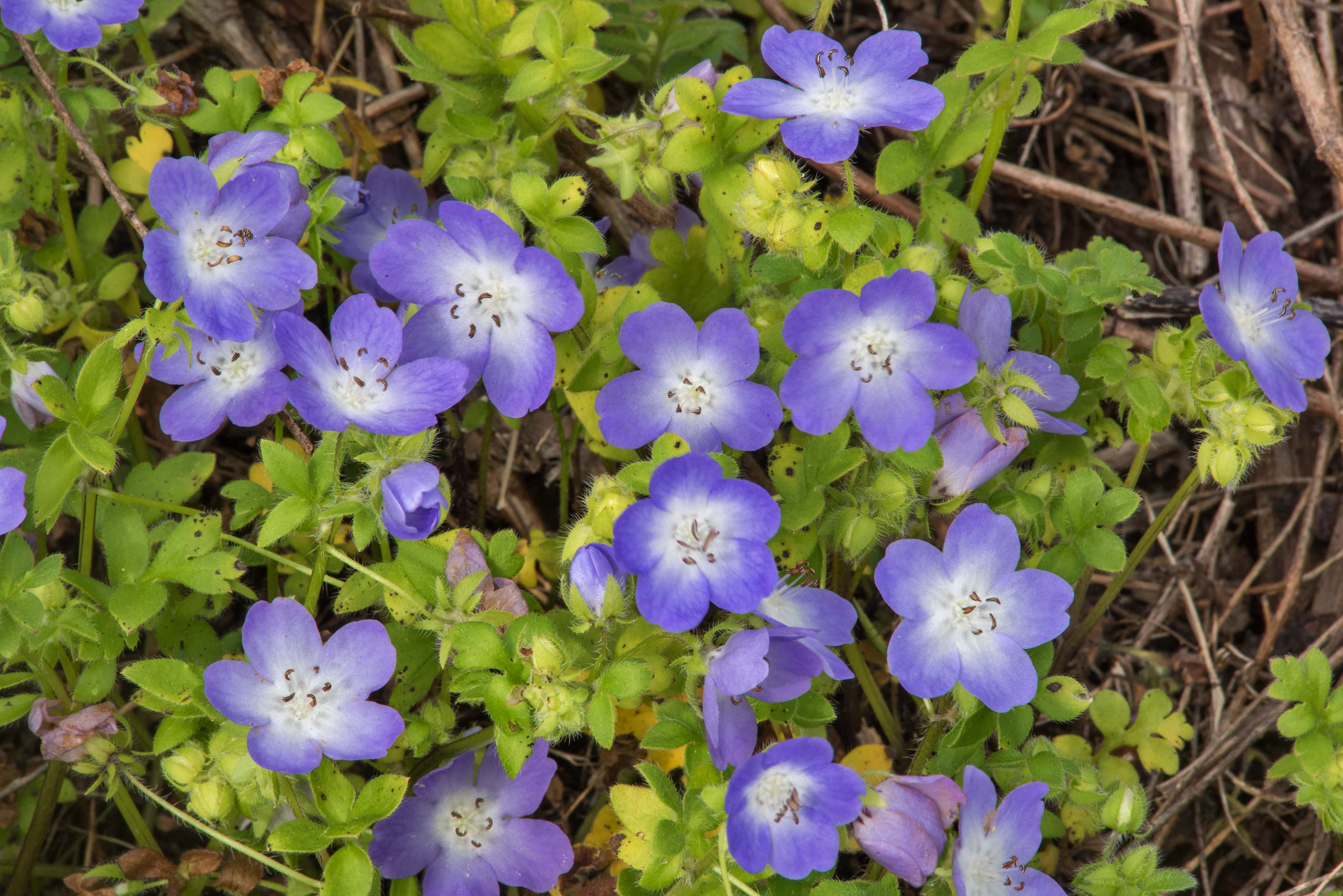 Baby blue eyes (flannel breeches, Nemophila...State Historic Site. Washington, Texas
