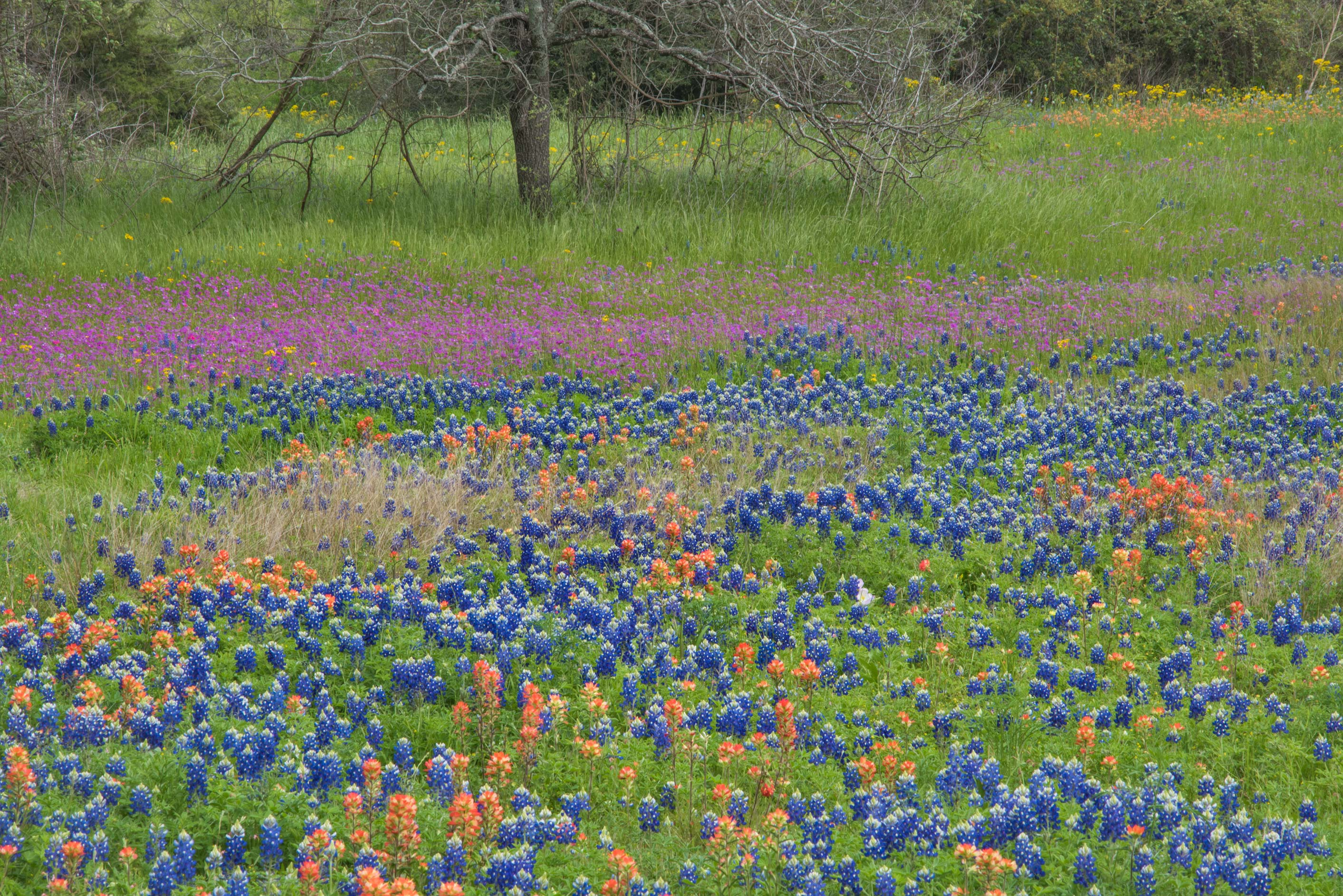 Field of flowers in Washington-on-the-Brazos State Historic Site. Washington, Texas