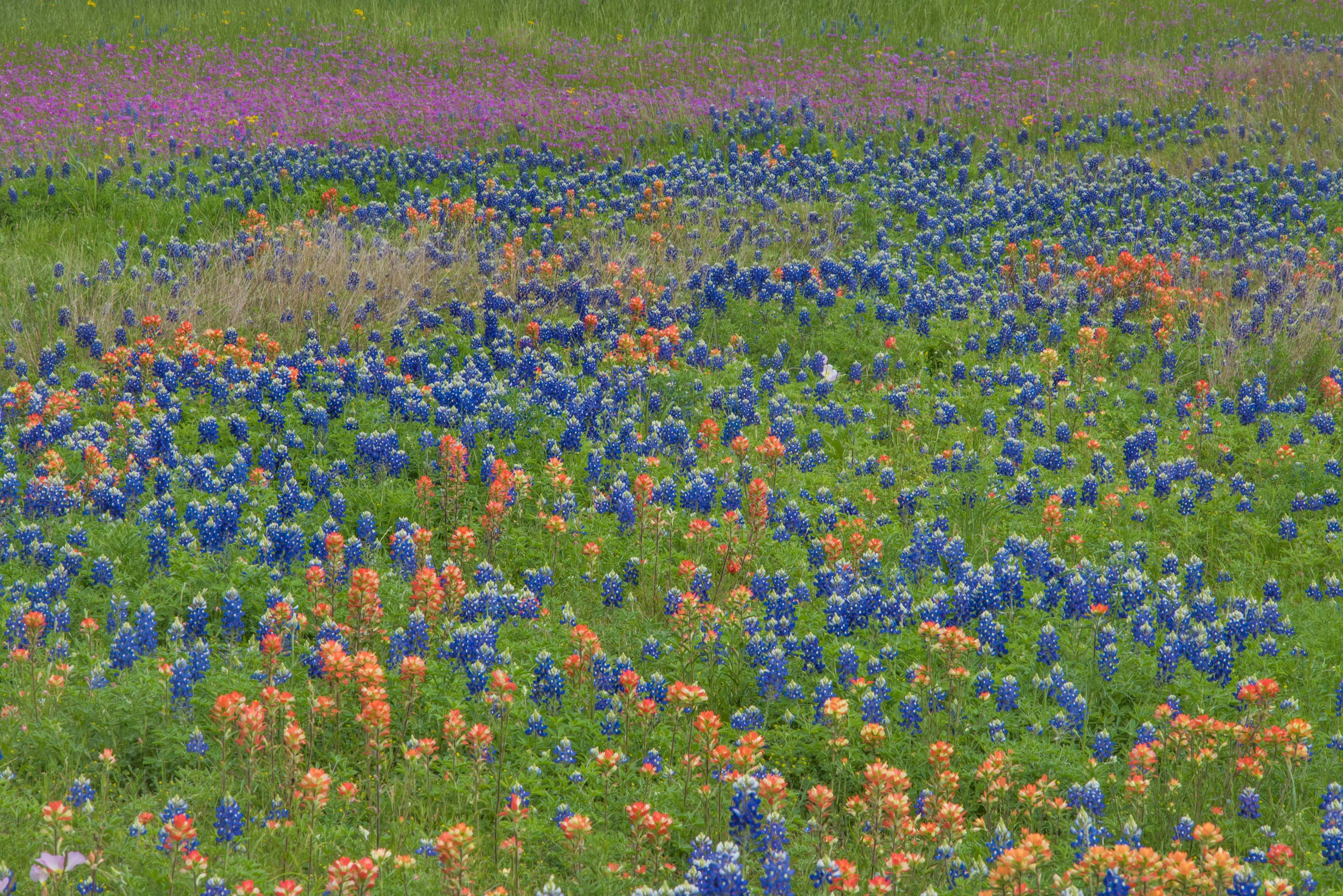 Various spring flowers in Washington-on-the-Brazos State Historic Site. Washington, Texas