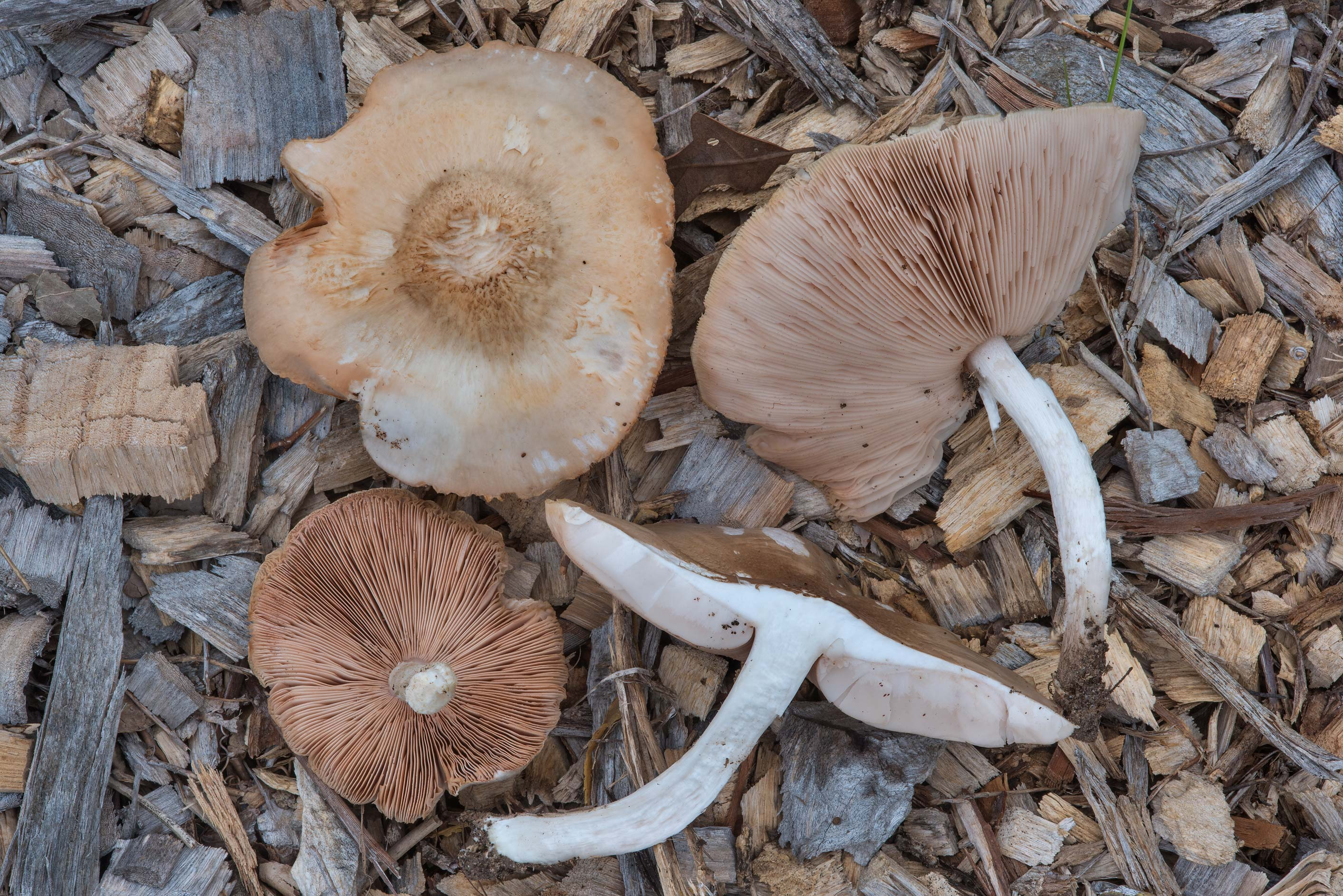 Pluteus mushrooms on wood chips near Post Oak...Creek Park. College Station, Texas