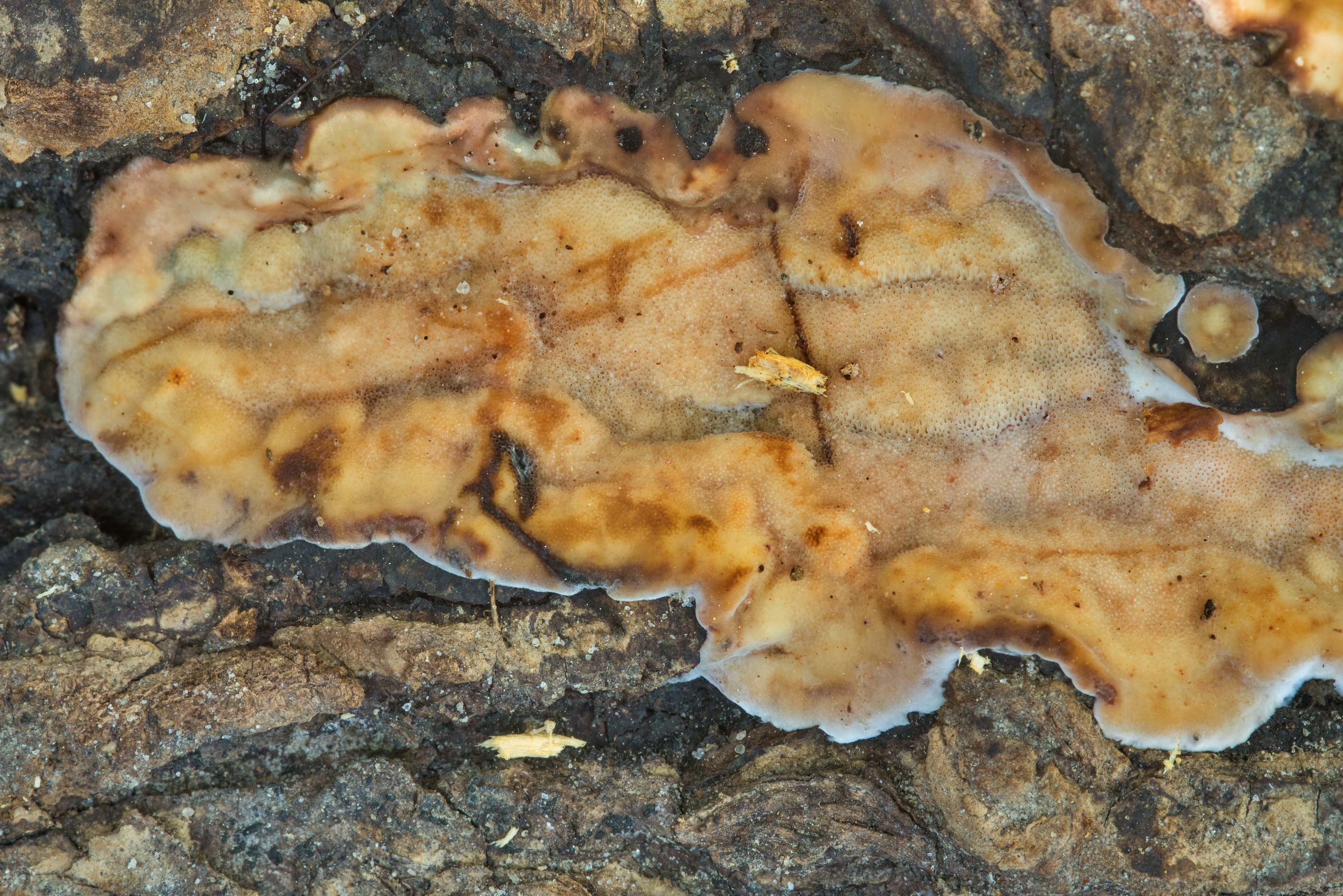 Some soft porous crust fungus on a tree in Lick Creek Park. College Station, Texas