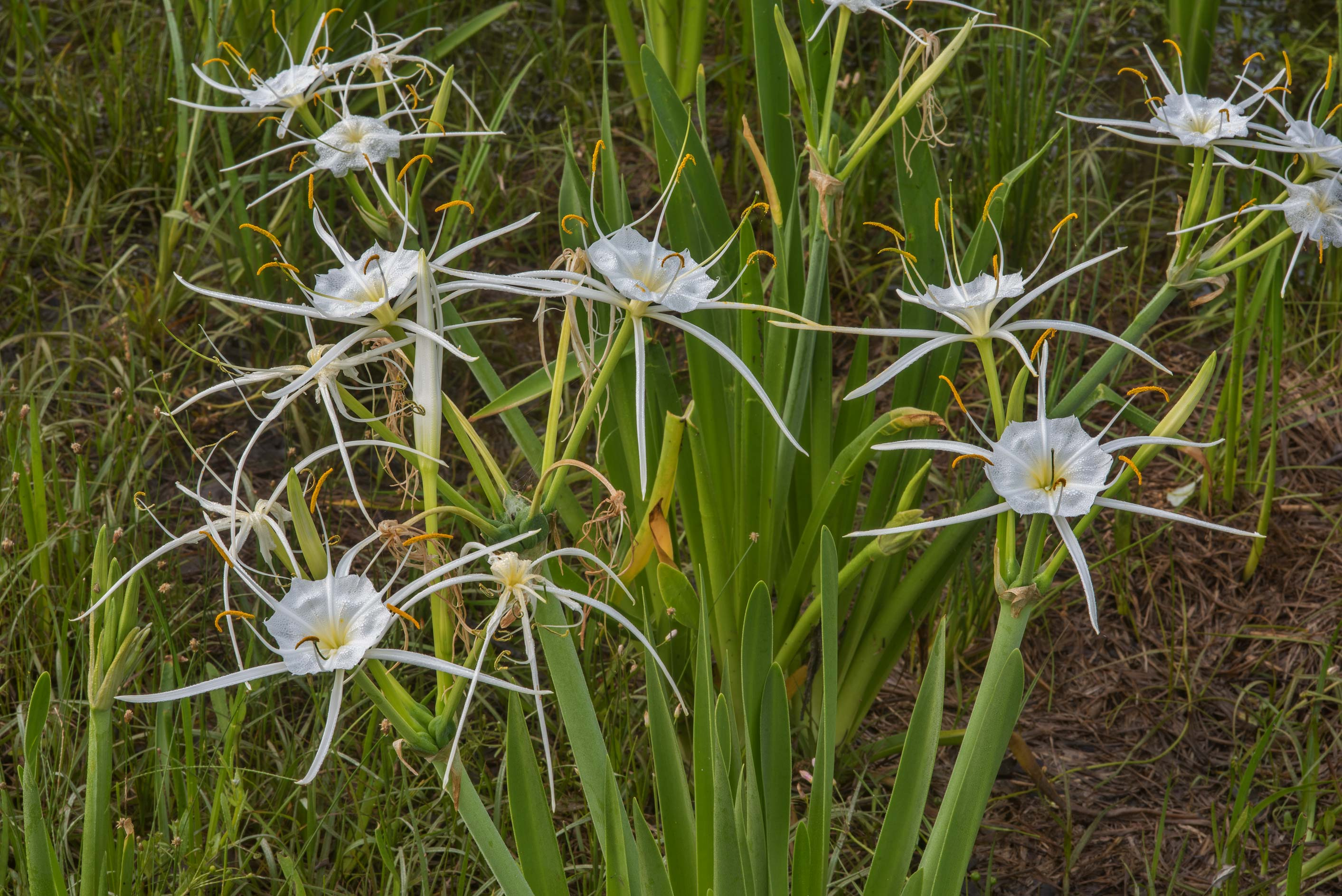 Spider lily (Hymenocallis) in a swamp near Rd. 30 north-east from College Station, Texas