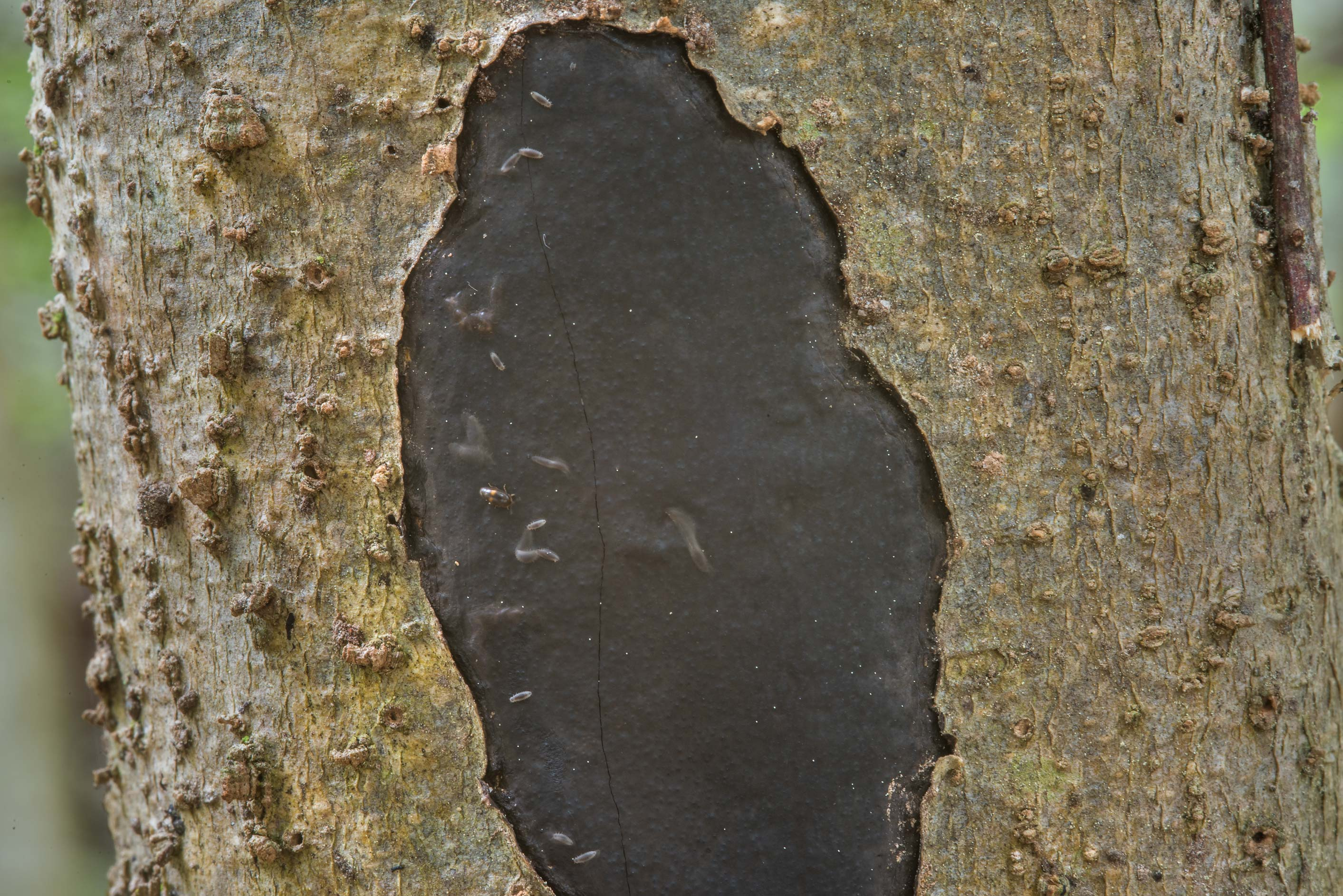 Black spreading fungus Biscogniauxia on a tree in Huntsville Park. Texas