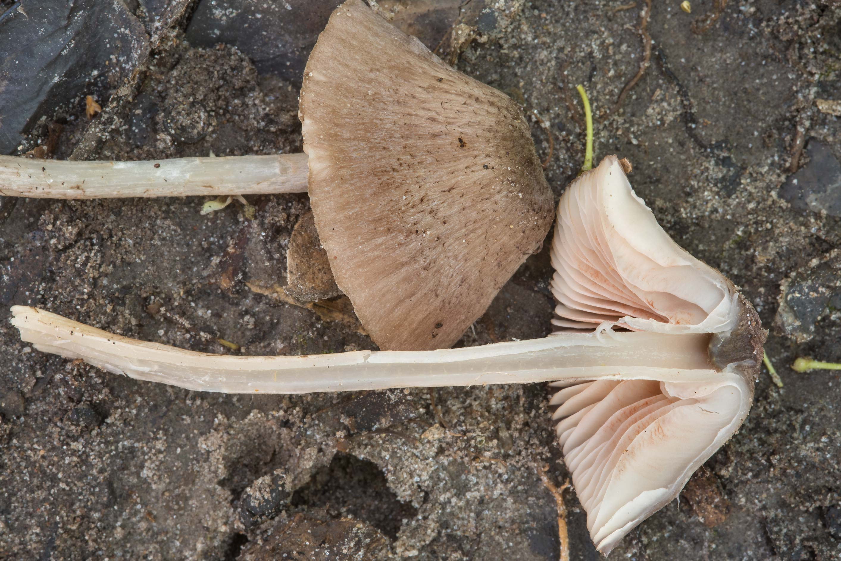 Dissected pinkgill (Entoloma) mushroom in Hensel Park. College Station, Texas
