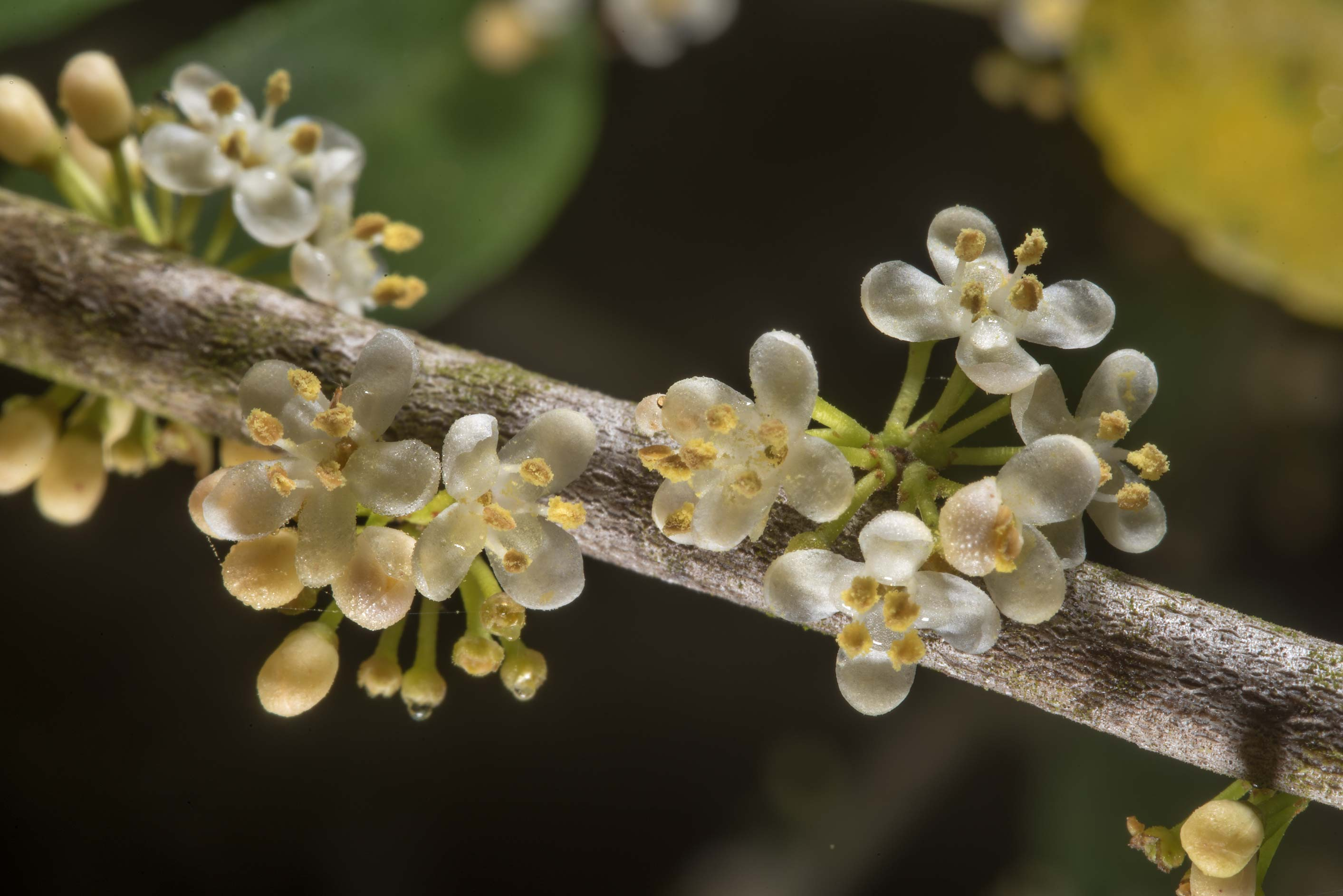 Flowers of yaupon holly in Lick Creek Park. College Station, Texas