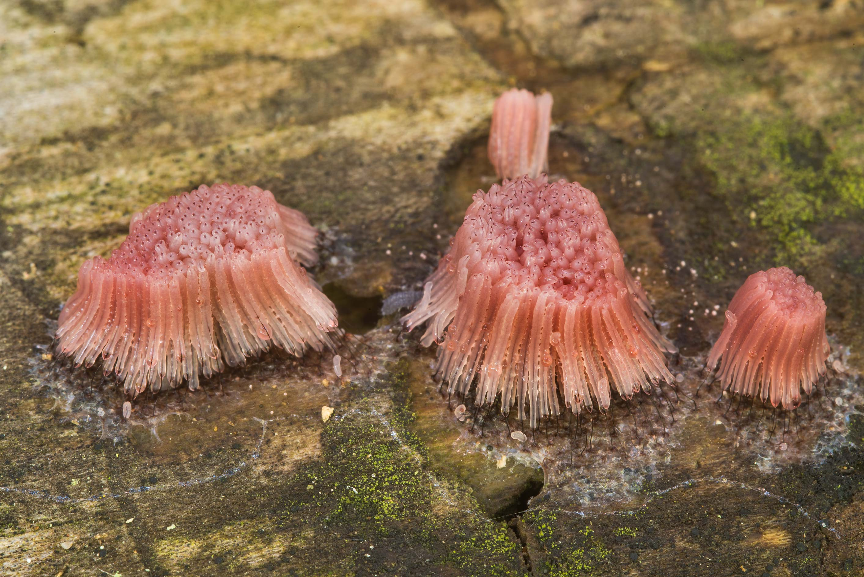 Sporagnia of slime mold Stemonitis fusca on a log...Creek Park. College Station, Texas