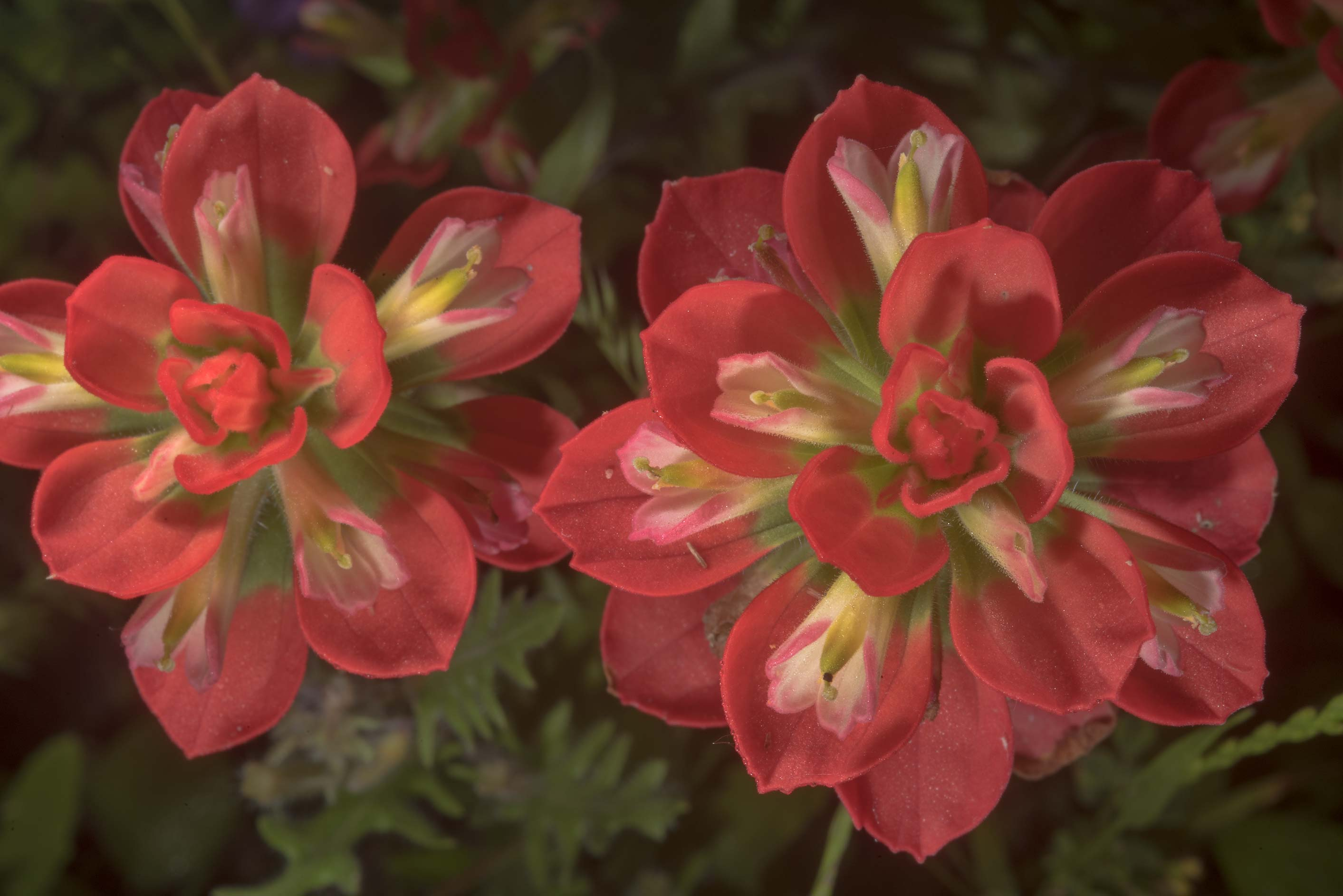 Indian paintbrush (Castilleja indivisa) in...State Historic Site. Washington, Texas