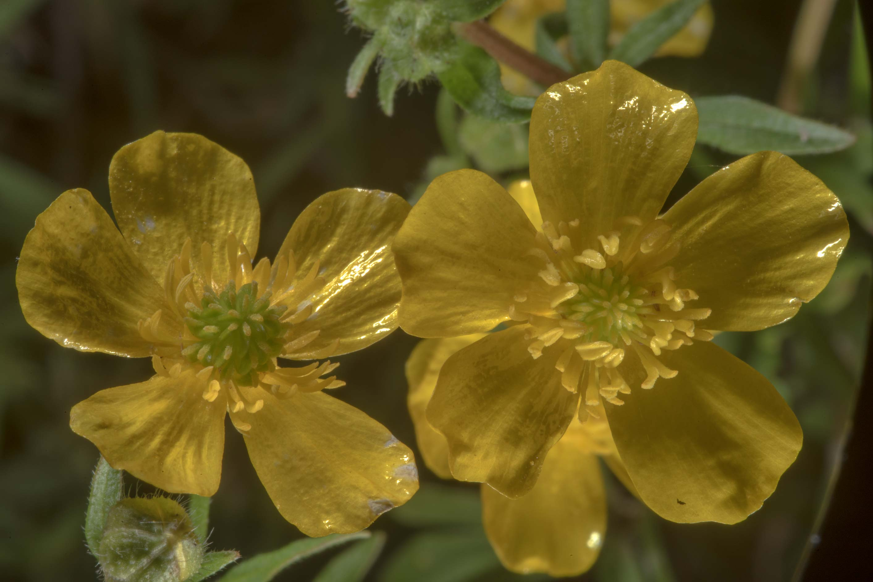 Prickleseed buttercup flower (Ranunculus...State Historic Site. Washington, Texas