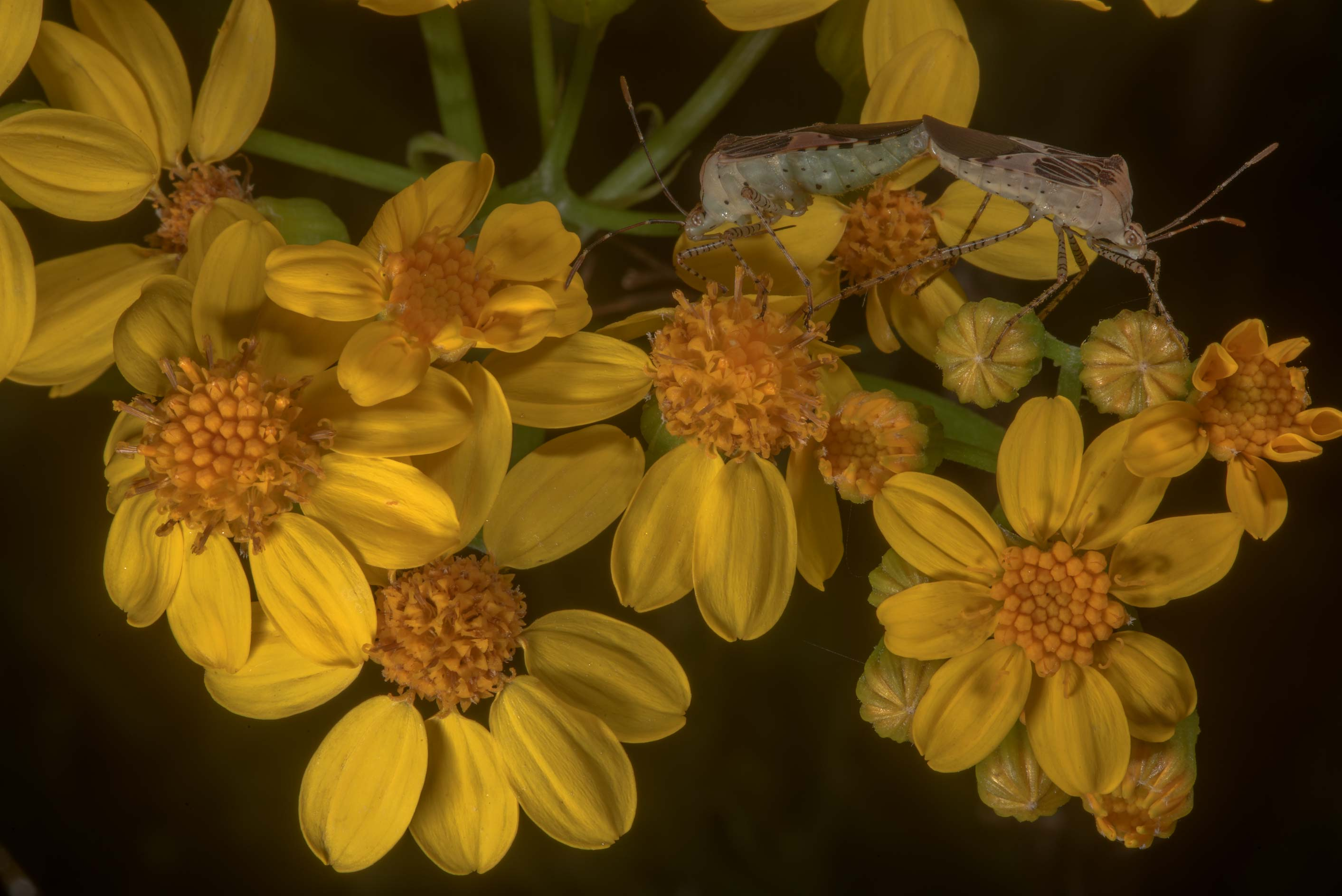 Yellow flowers of aster family with stink bugs...State Historic Site. Washington, Texas