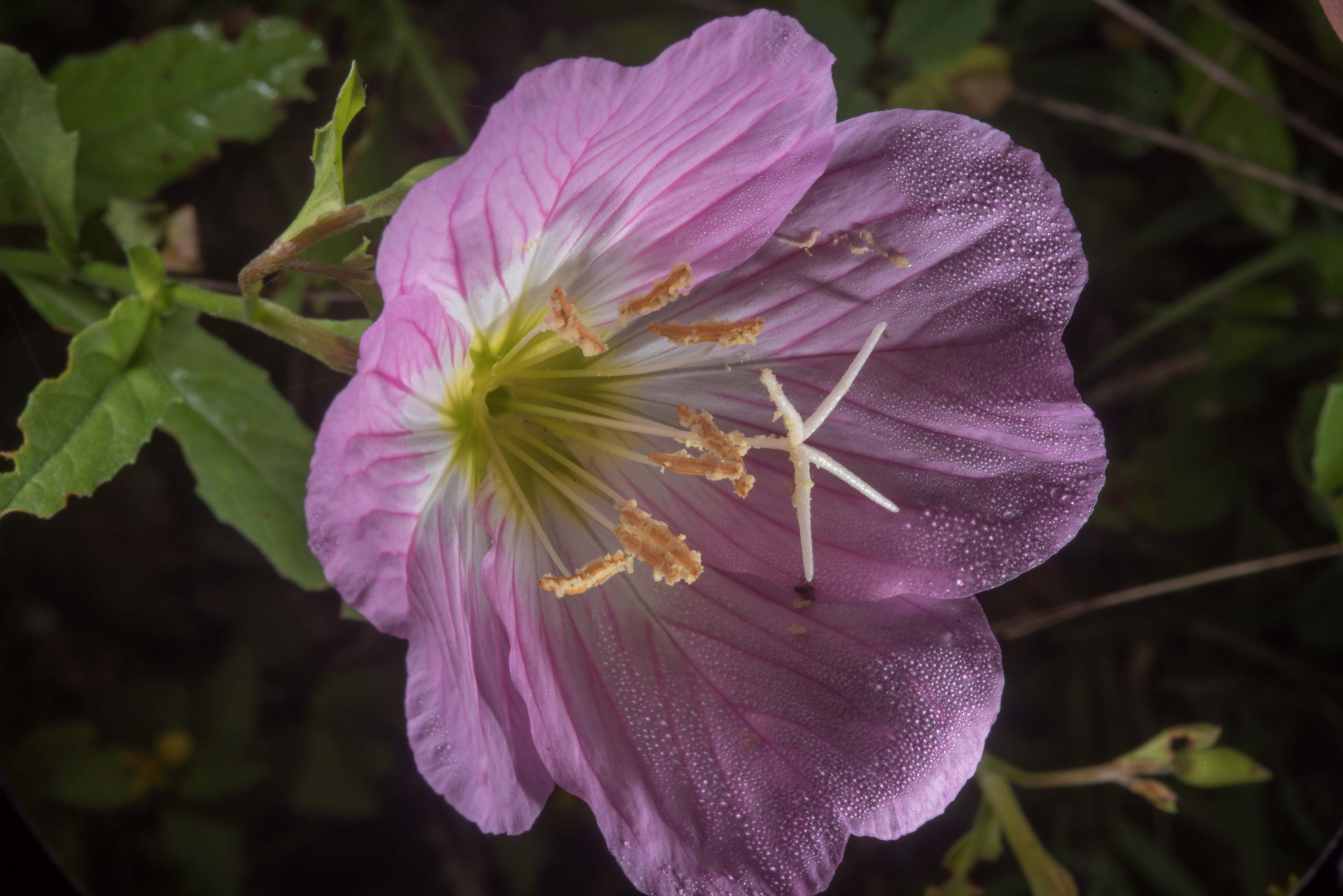 Showy evening primrose (Oenothera speciosa) in...State Historic Site. Washington, Texas