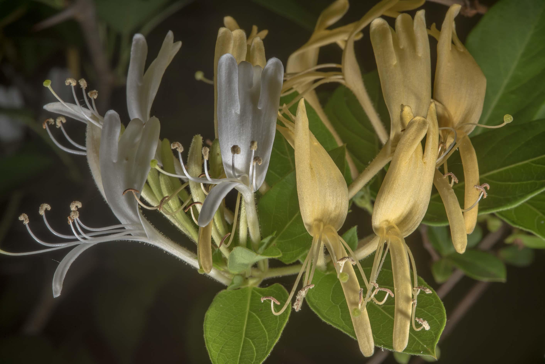 Photo 2244 27 White And Yellow Flowers Of Japanese Honeysuckle