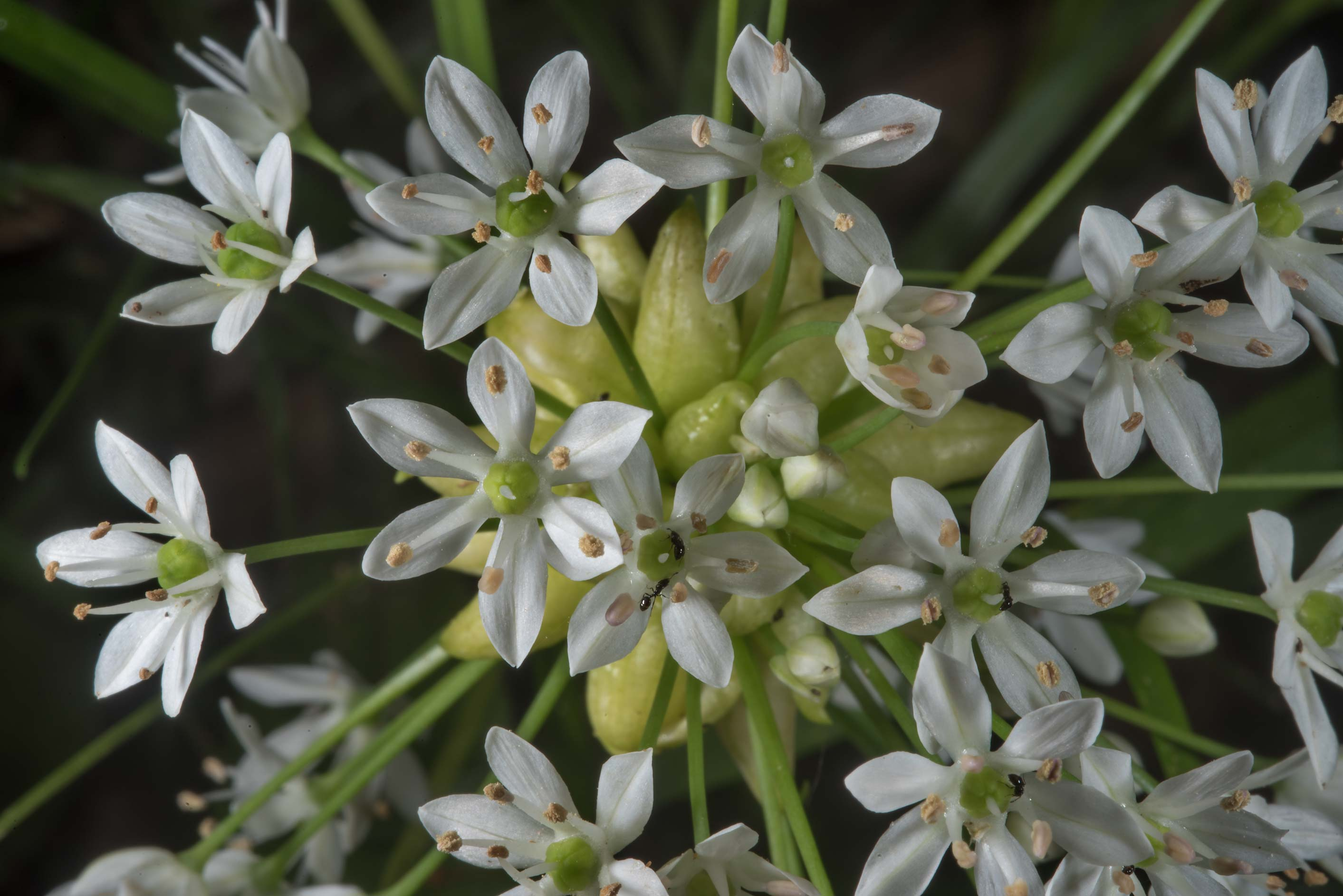 Canada garlic (Allium canadense) in Washington-on...State Historic Site. Washington, Texas