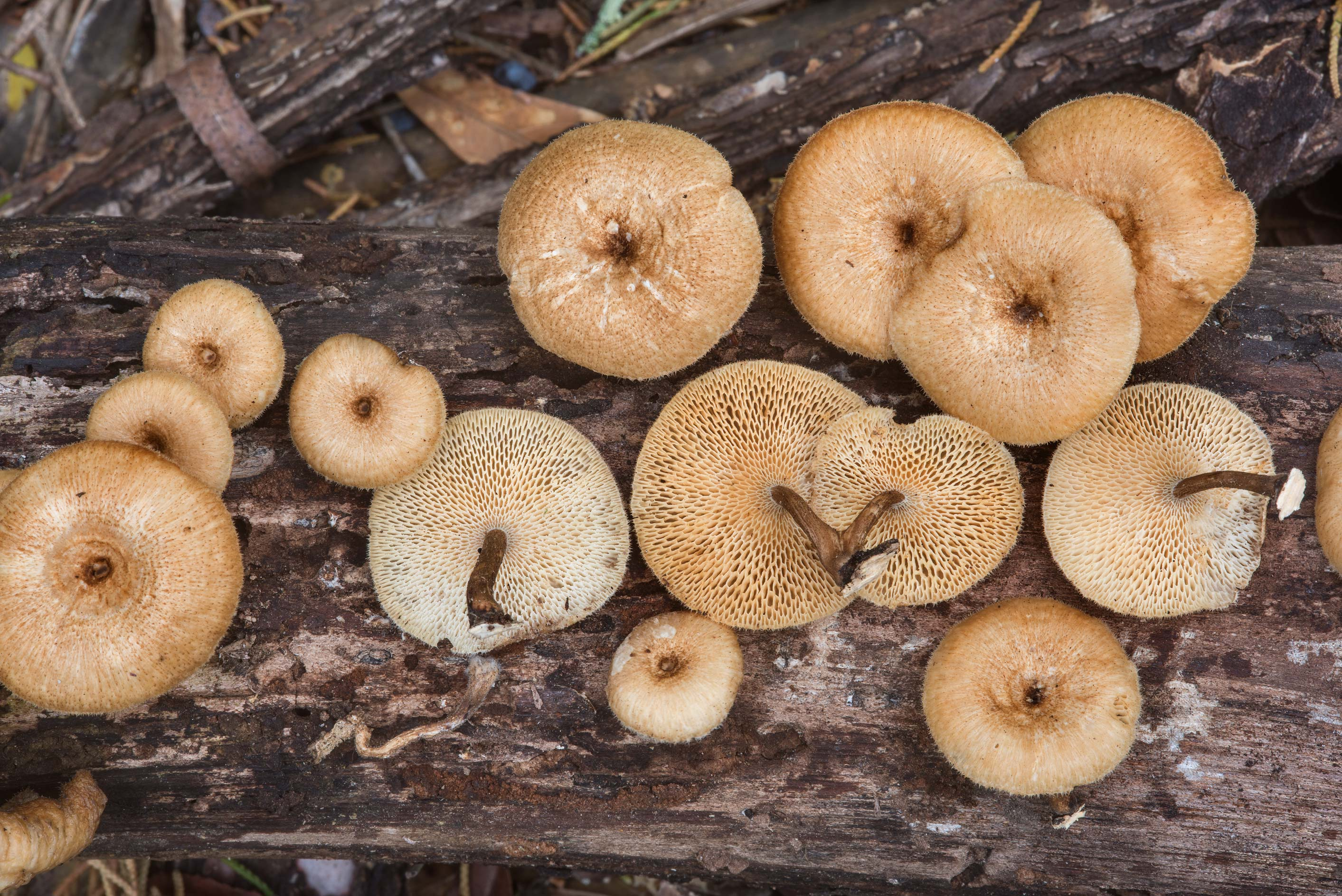 Group of Lentinus arcularius mushrooms on a...in Hensel Park. College Station, Texas