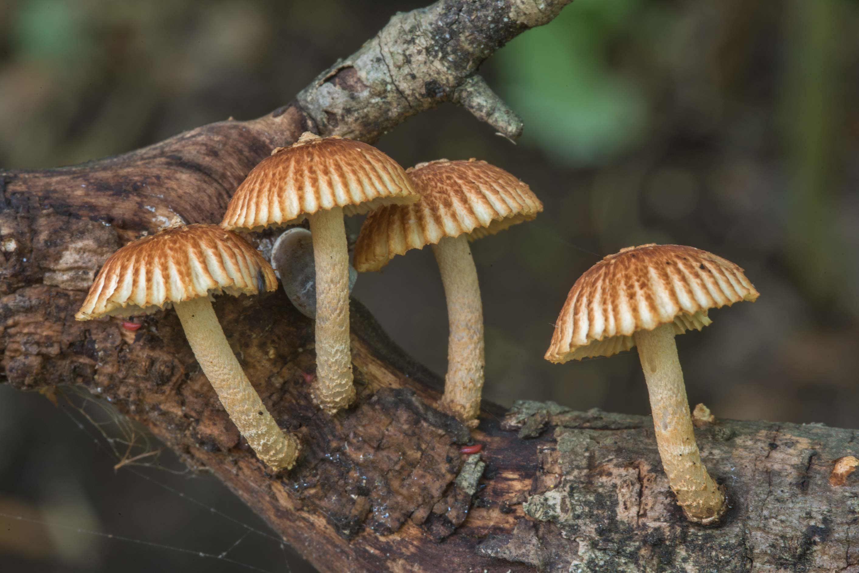 Side view of Heliocybe sulcata mushrooms on a dry...in Hensel Park. College Station, Texas