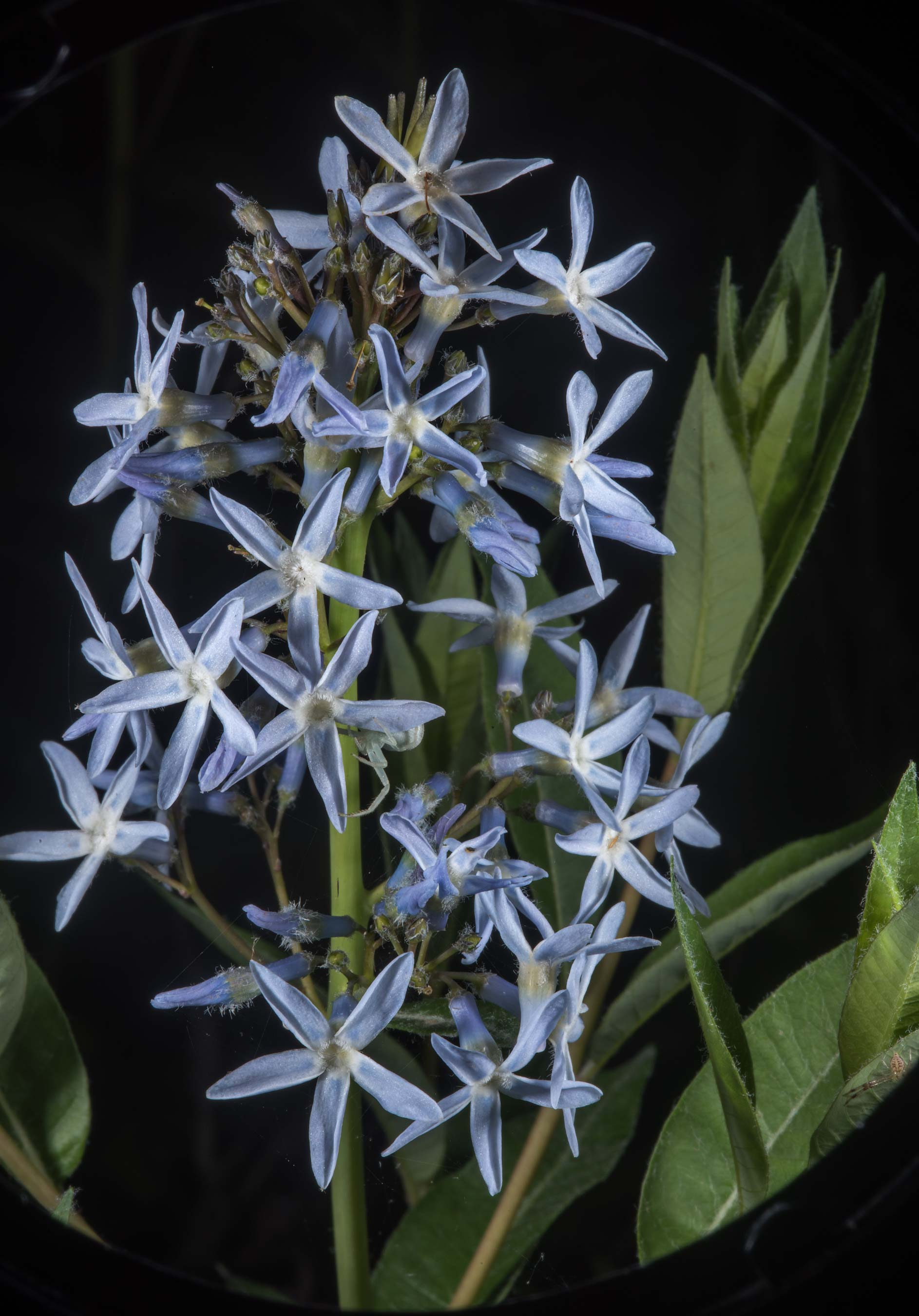 Flowers of Showy blue star (Amsonia illustris) on...of Somerville Lake State Park. Texas