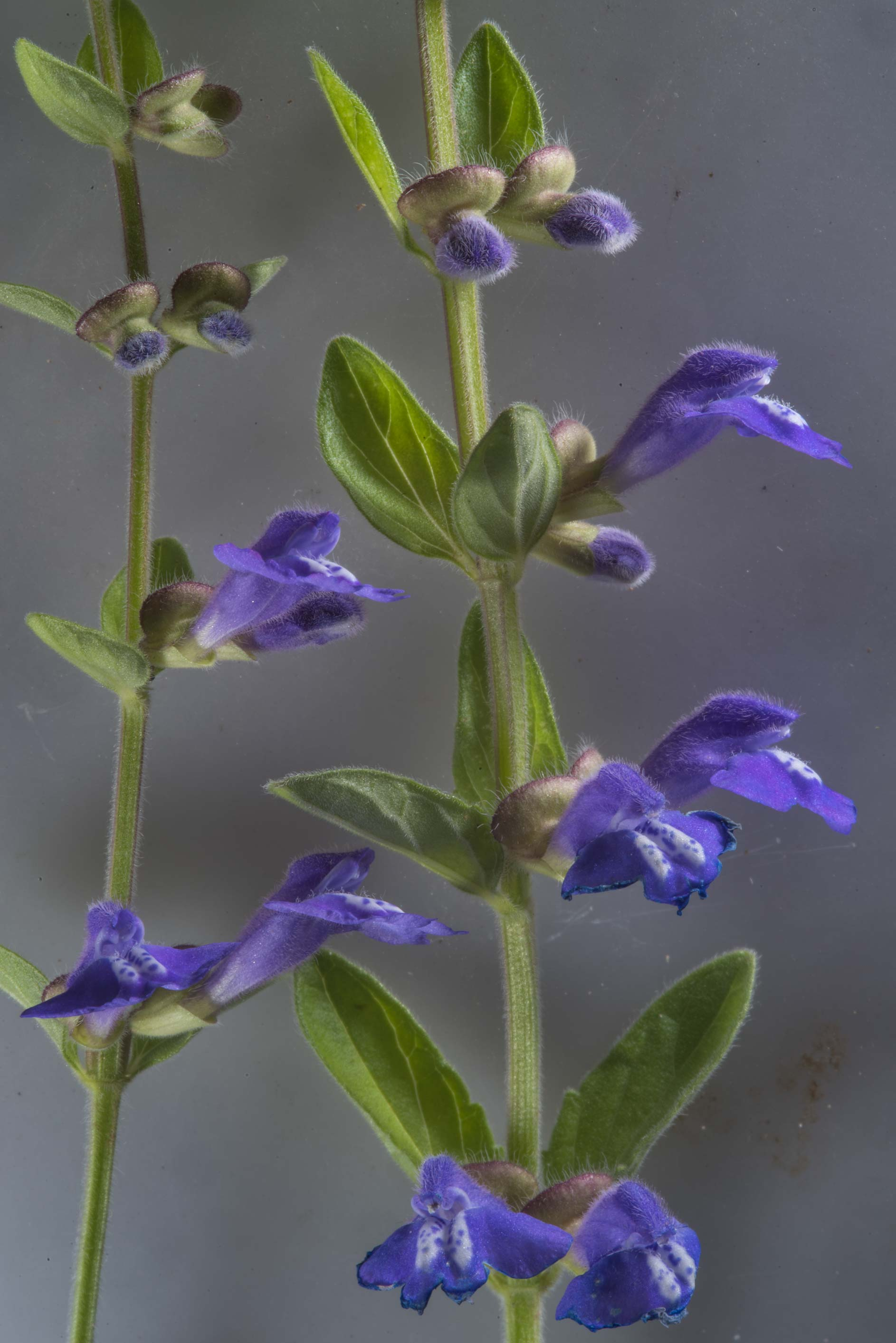 Blue skullcap flowers (Scutellaria) on north...of Somerville Lake State Park. Texas