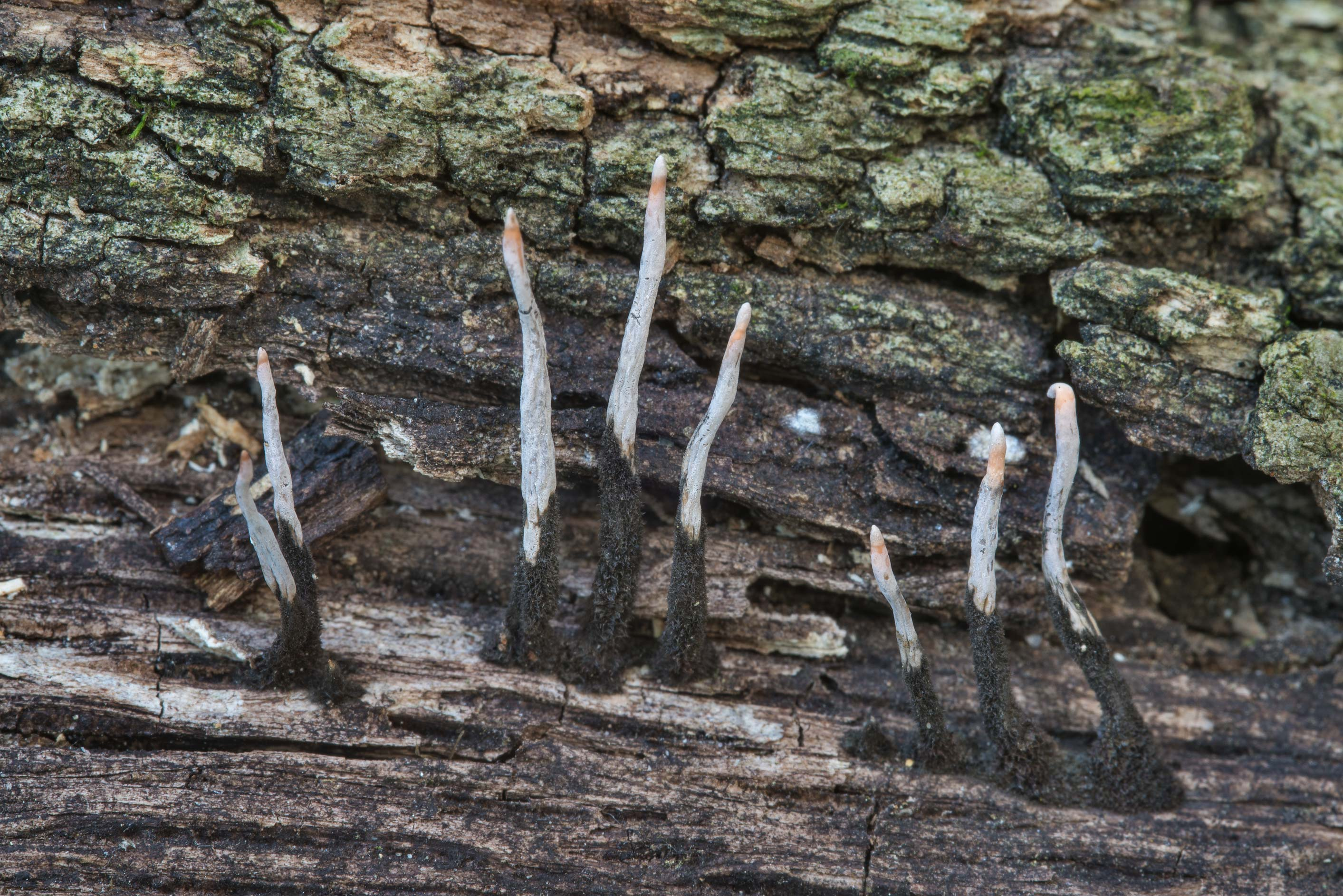 Candlesnuff fungus (Xylaria hypoxylon) on Kiwanis Nature Trail. College Station, Texas