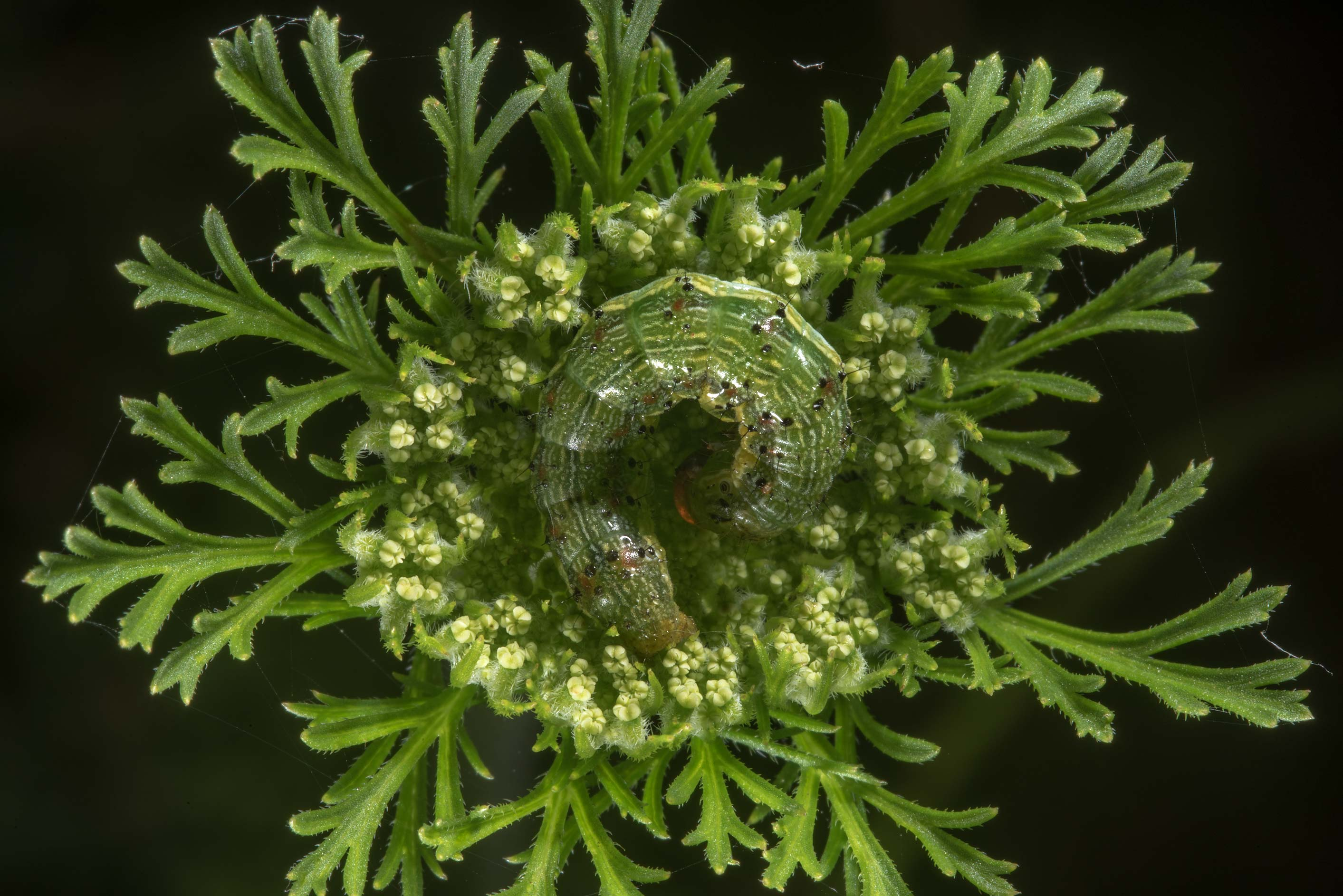 Green caterpillar on flowers of wild carrot...State Historic Site. Washington, Texas