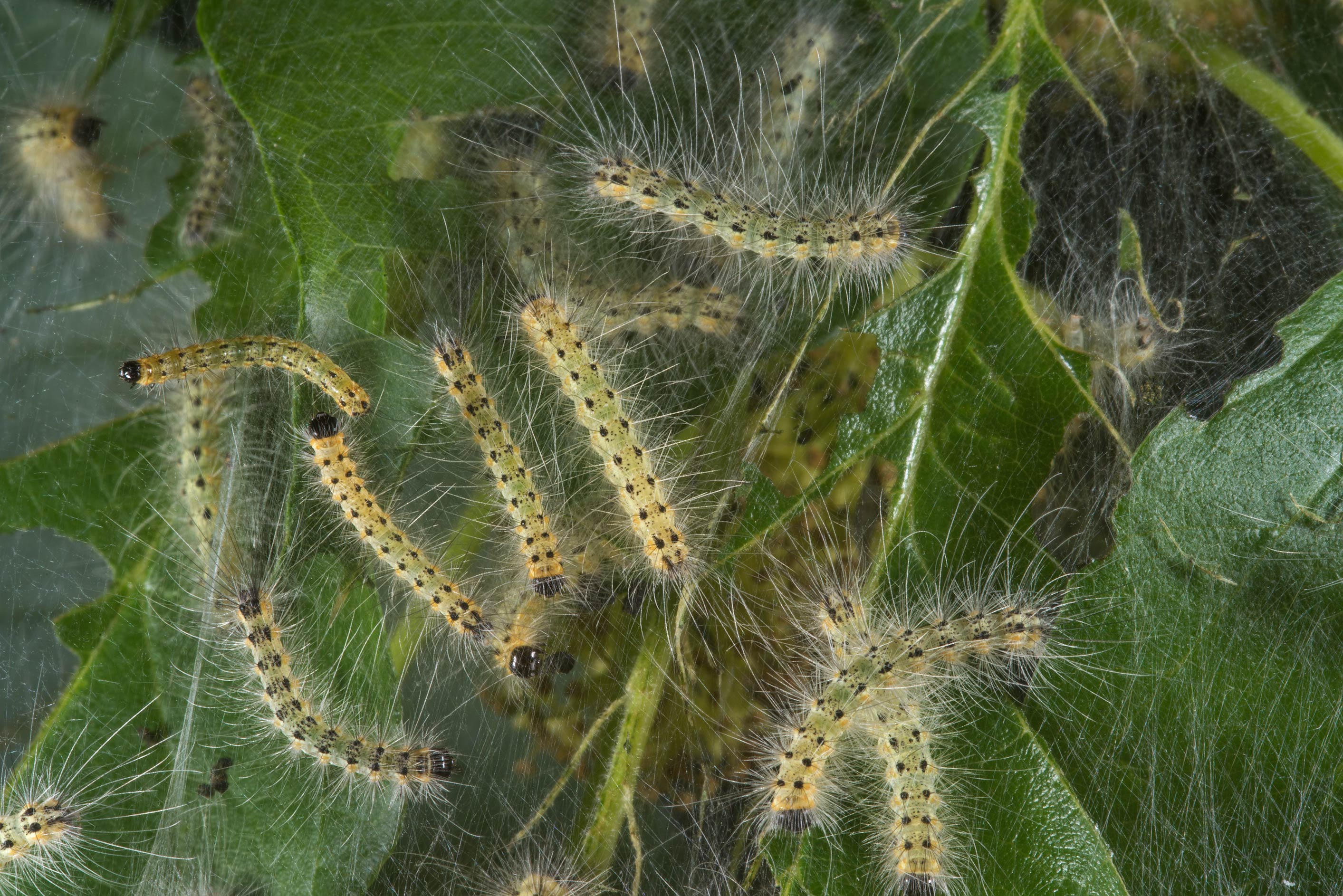 Young web caterpillars on a Maclura tree in...State Historic Site. Washington, Texas