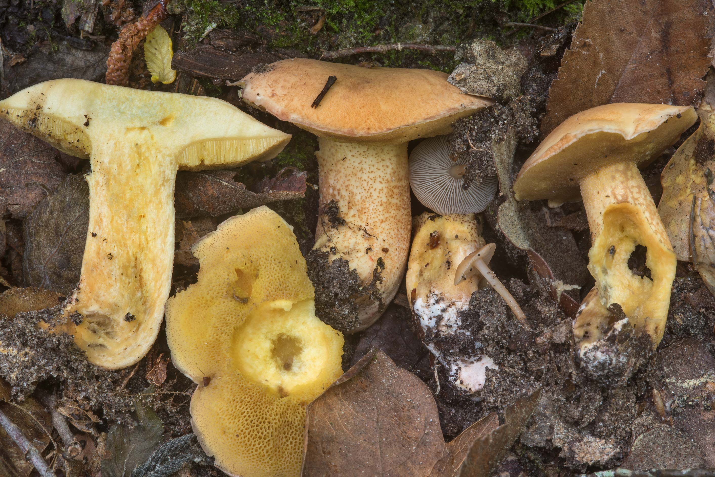 Group of bolete mushrooms Suillus hirtellus on...National Forest near Huntsville, Texas