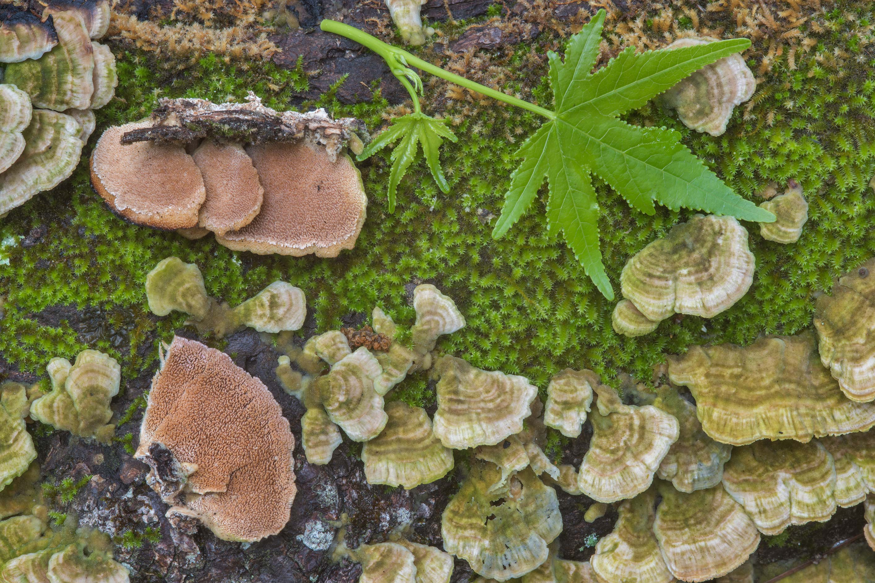Purple toothed polypore mushrooms (Trichaptum...National Forest near Huntsville, Texas