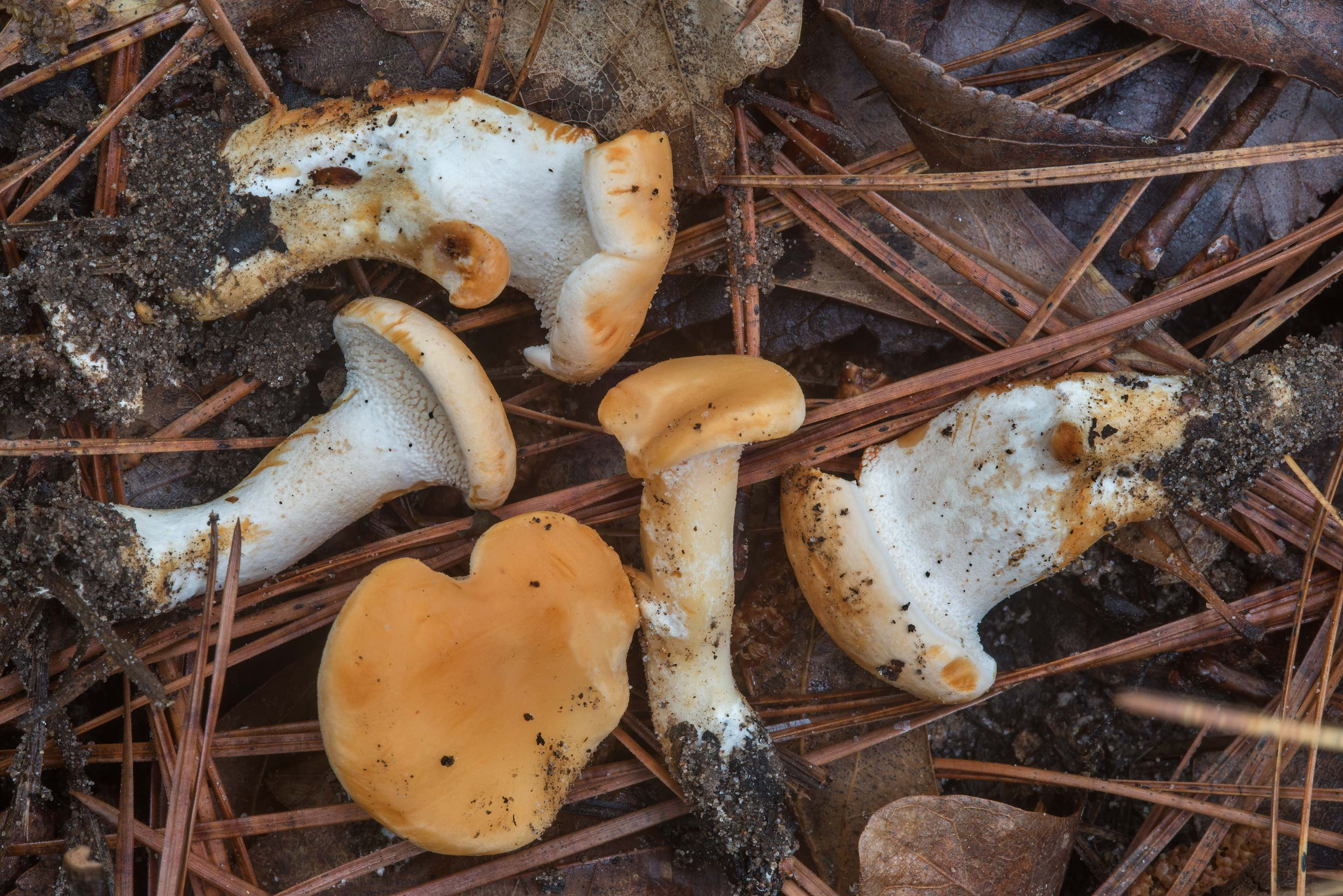 Young sweet tooth mushrooms (Hydnum repandum) on...National Forest near Huntsville, Texas