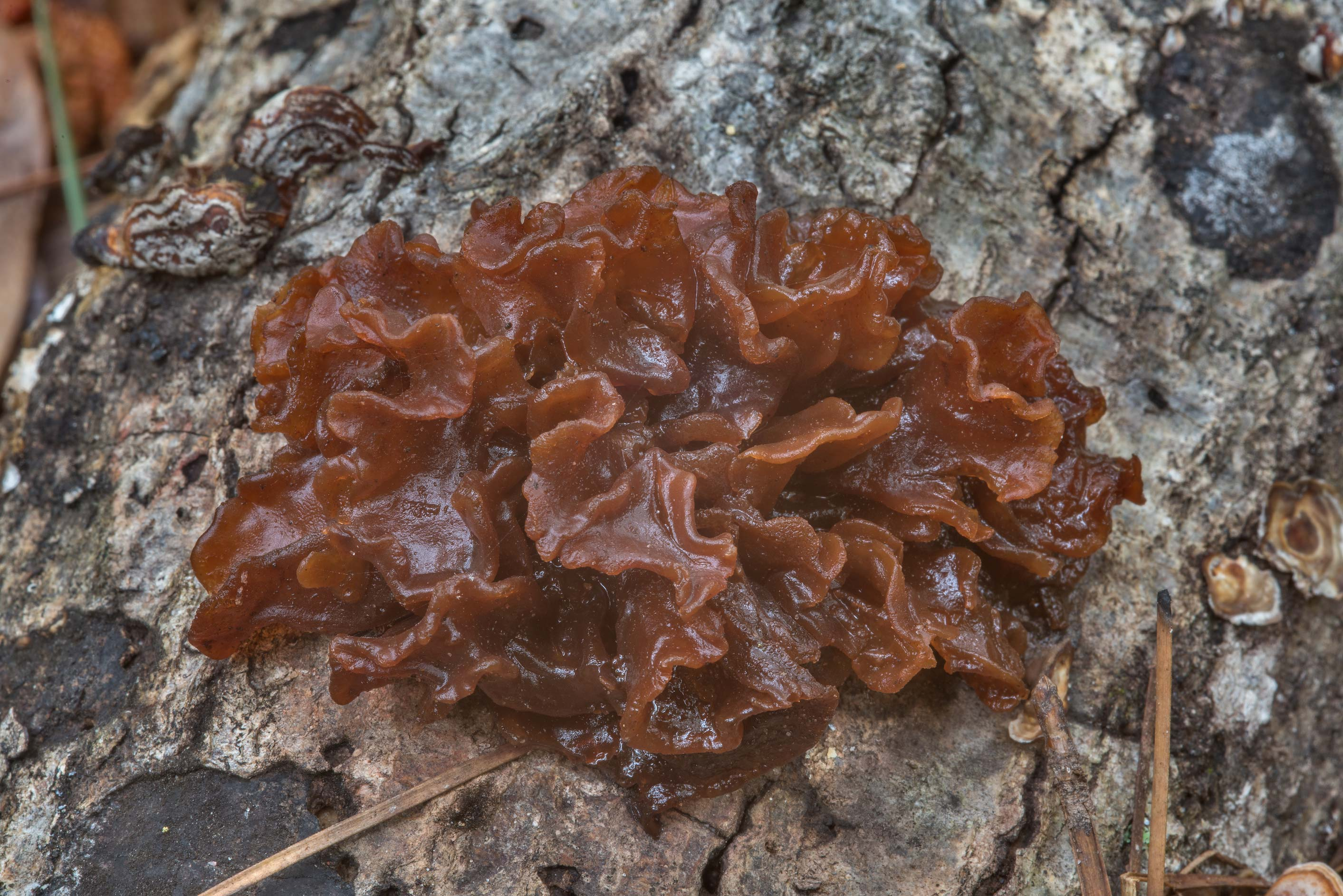 Leafy brain mushrooms (Phaeotremella frondosa...National Forest near Huntsville, Texas