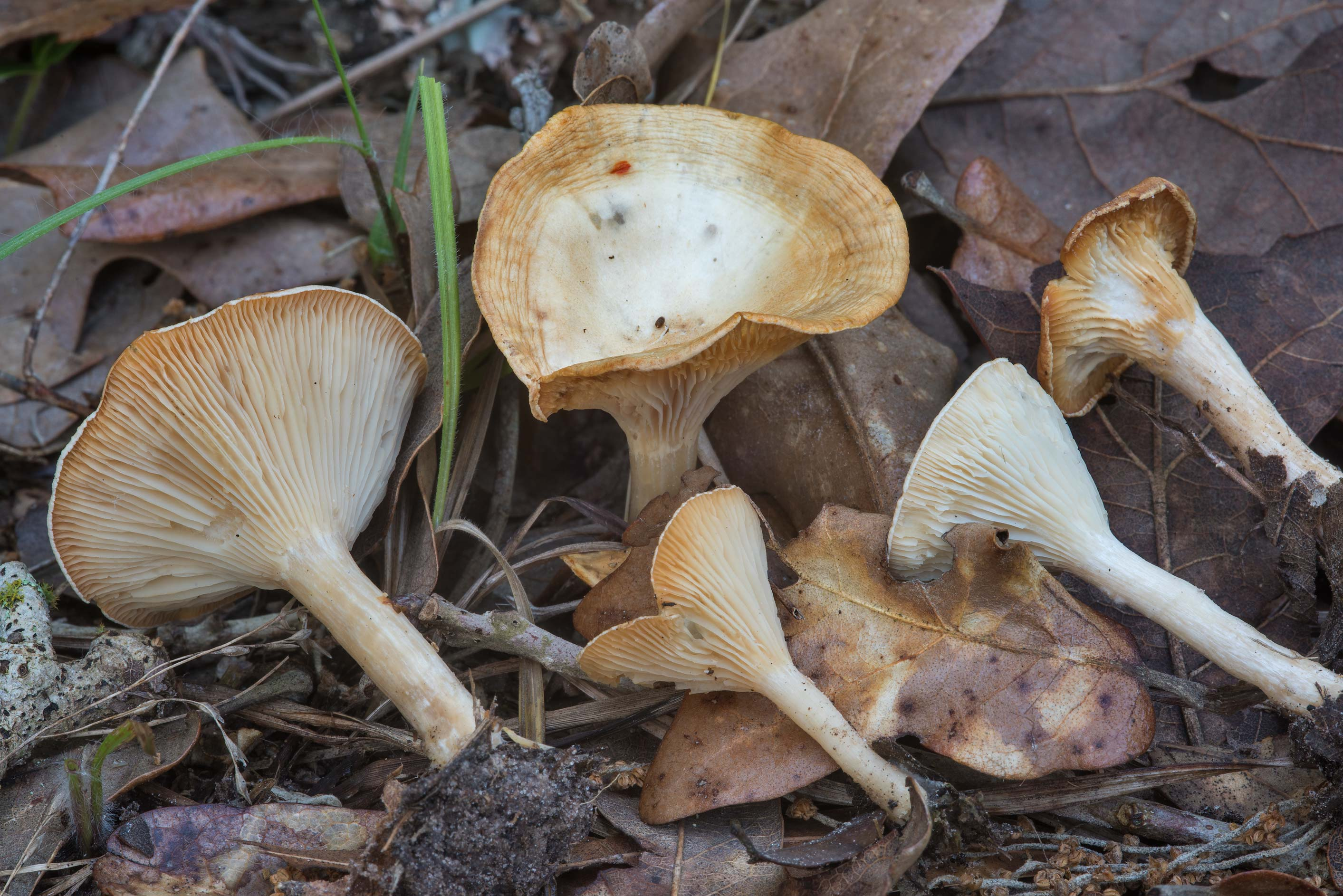 Infundibulicybe (Clitocybe) mushrooms on Post Oak...Creek Park. College Station, Texas