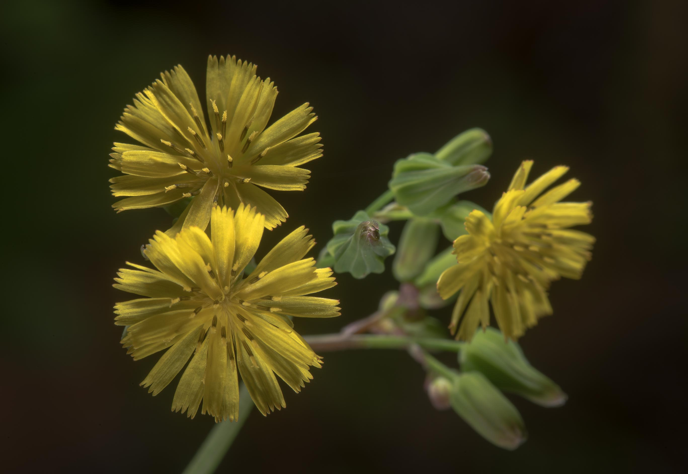 Small flowers of oriental false hawksbeard...Gardens. Humble (Houston area), Texas