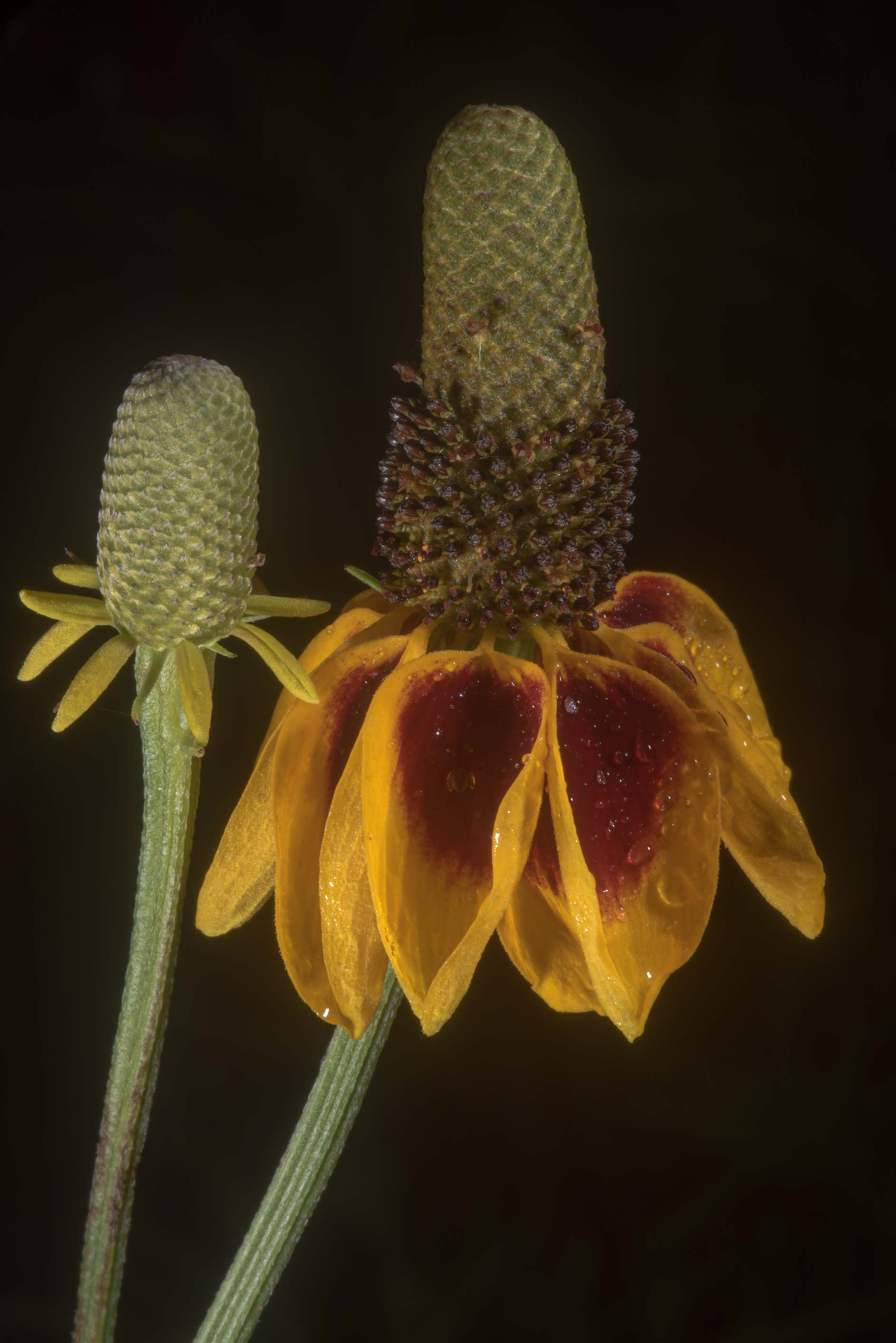 Mexican hat flower (Ratibida columnifera) in...State Historic Site. Washington, Texas