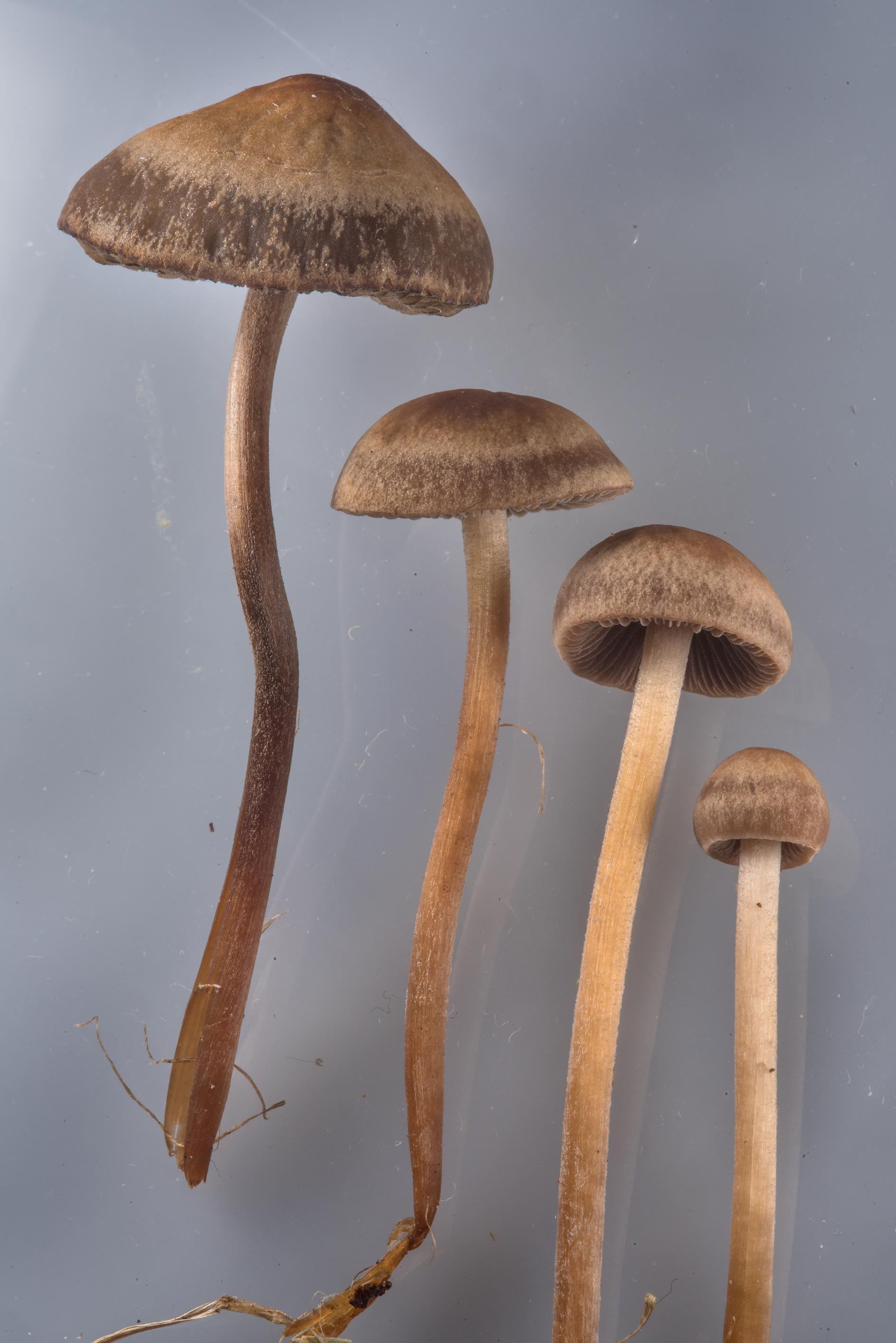 Banded mottlegill mushrooms (Panaeolus cinctulus...M University. College Station, Texas