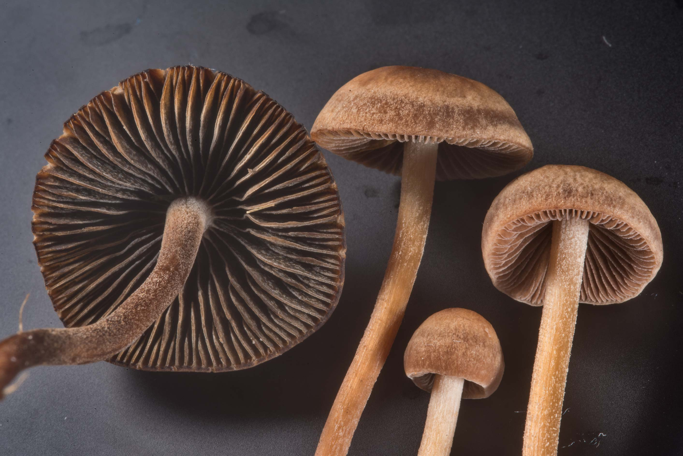 Close up of banded mottlegill mushrooms...M University. College Station, Texas