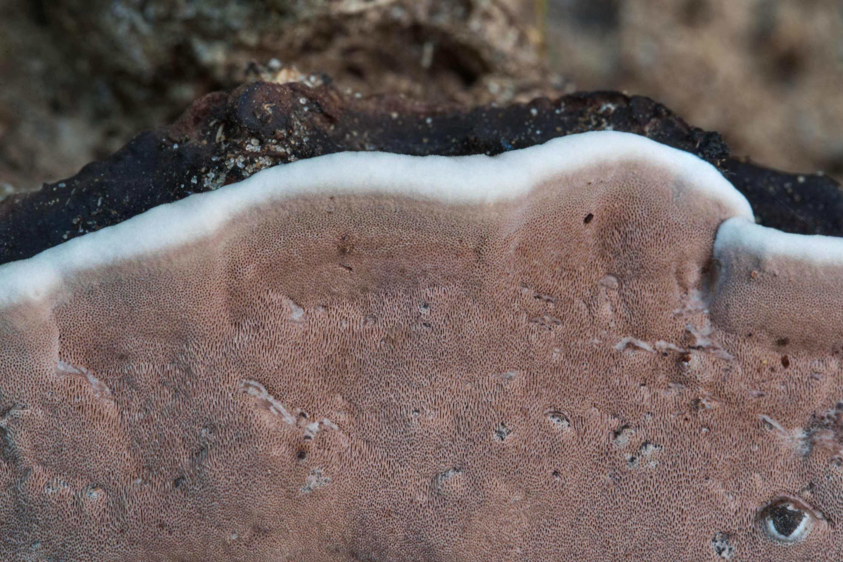 Close up of some resupinate polypore fungus on...National Forest near Huntsville, Texas