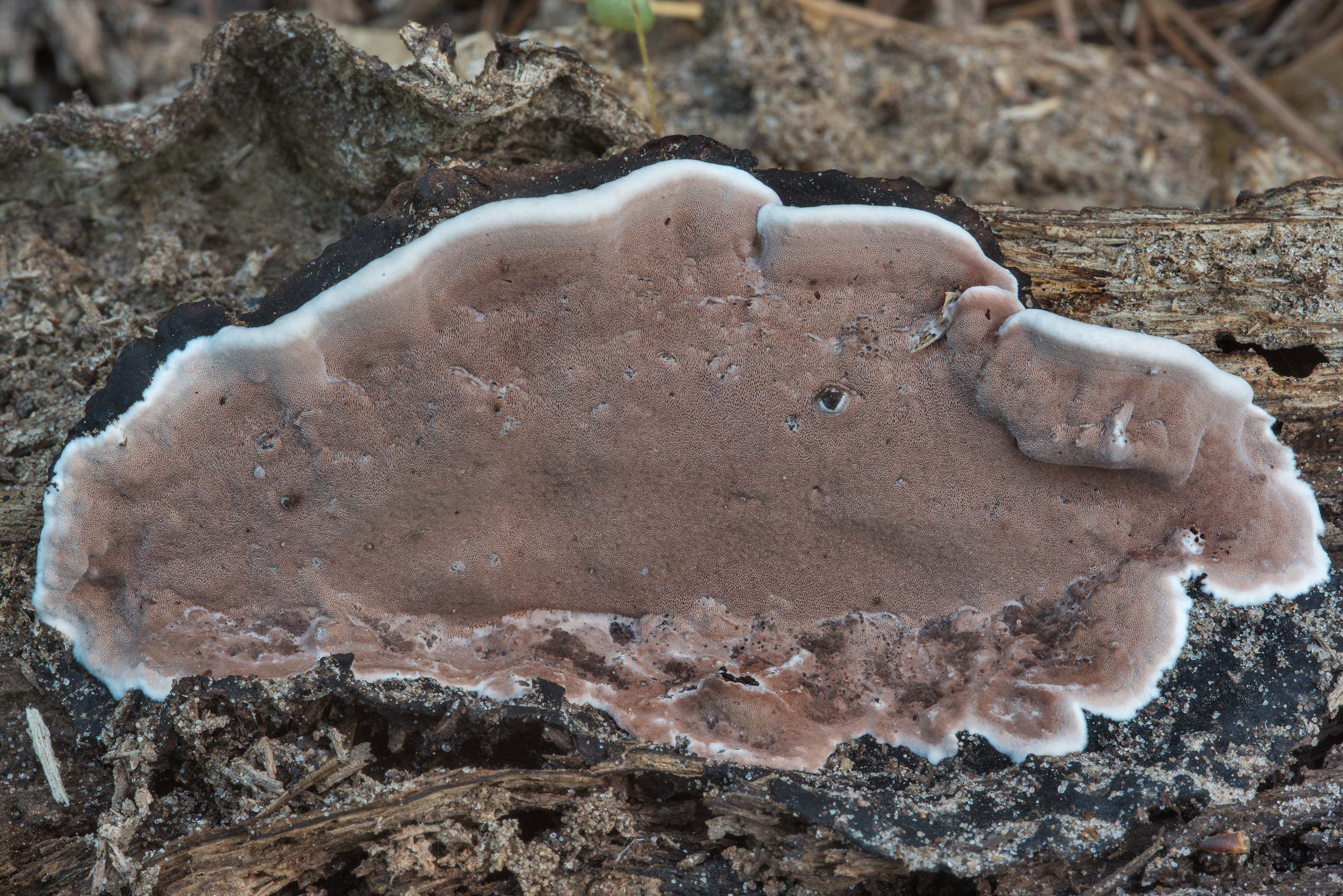 Brown and white polypore mushroom smoky bracket...National Forest near Huntsville, Texas