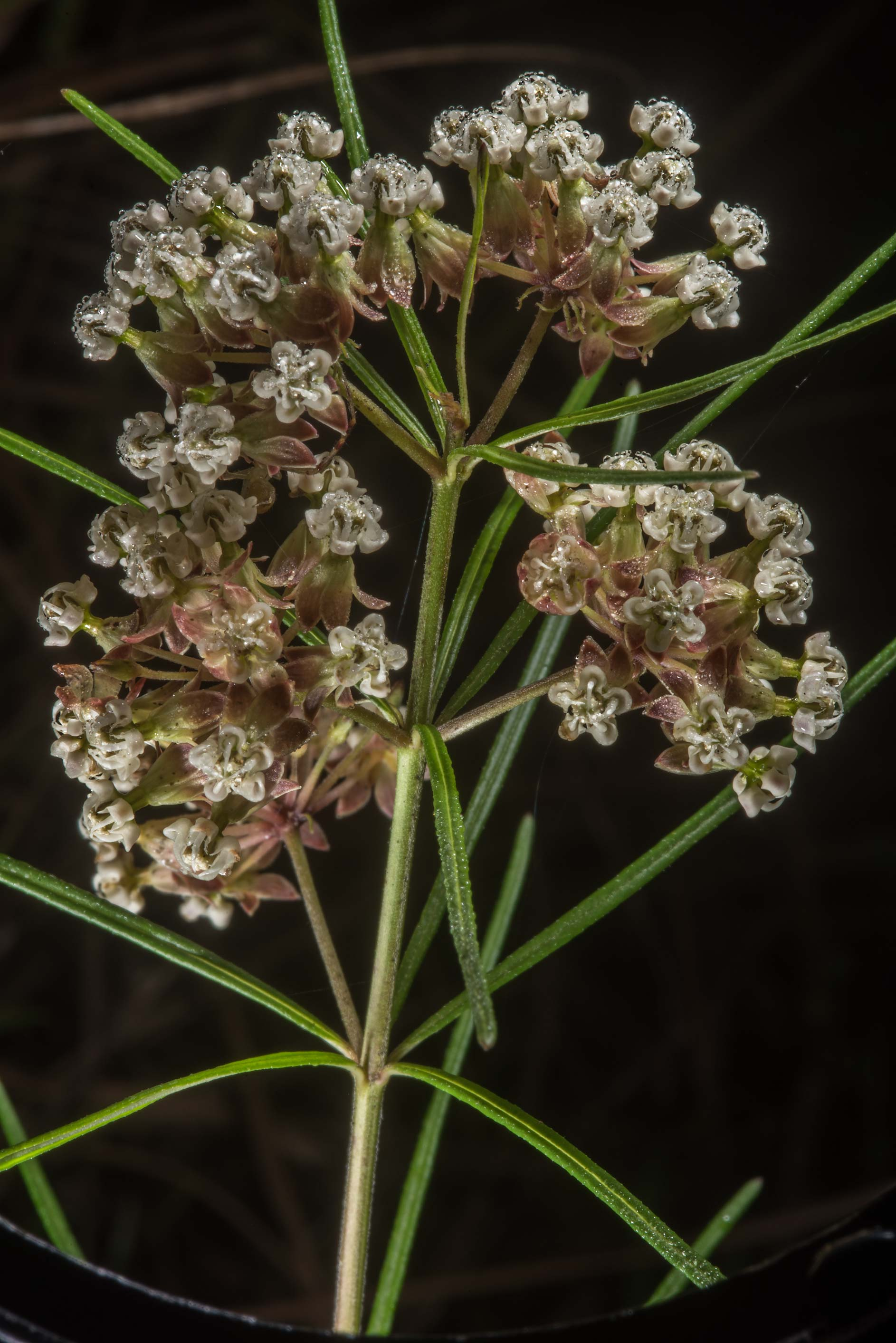 Whorled milkweed (Asclepias verticillata) on...of Somerville Lake State Park. Texas