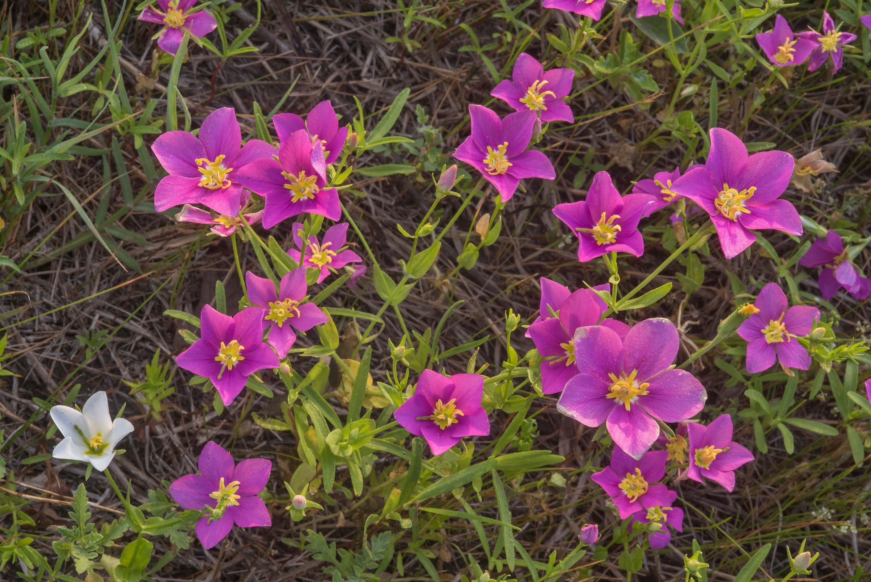 Photo 2260 02 Meadow Pink Sabatia Campestris In Lake Bryan Park