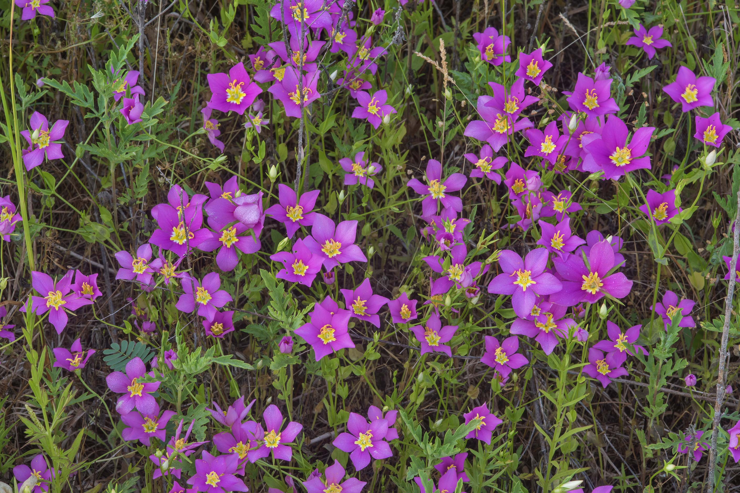 Flowers of Meadow pink (Sabatia campestris) in Lake Bryan Park. Bryan, Texas