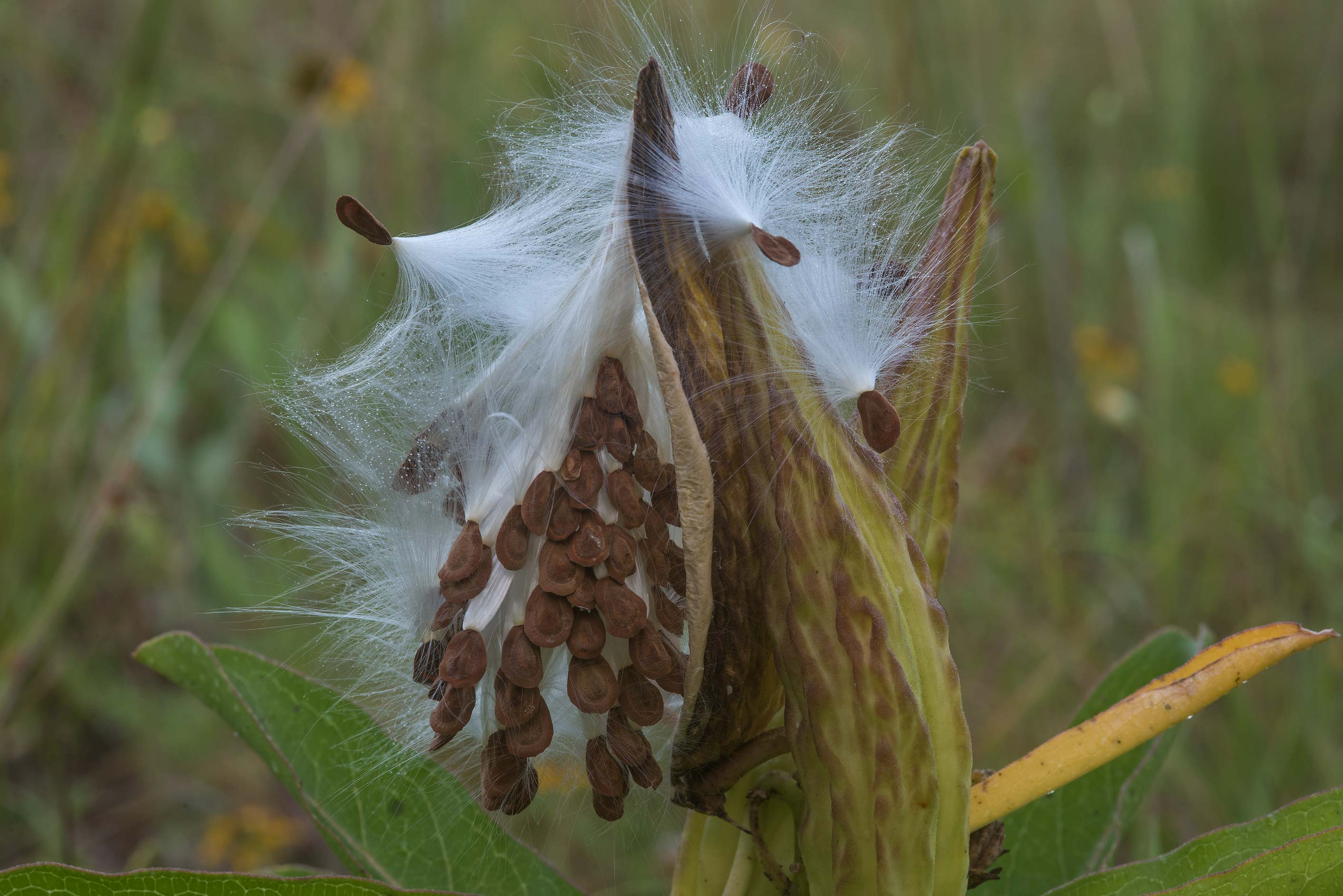 Seeds of Antelope horns milkweed (Asclepias...Creek Park. College Station, Texas