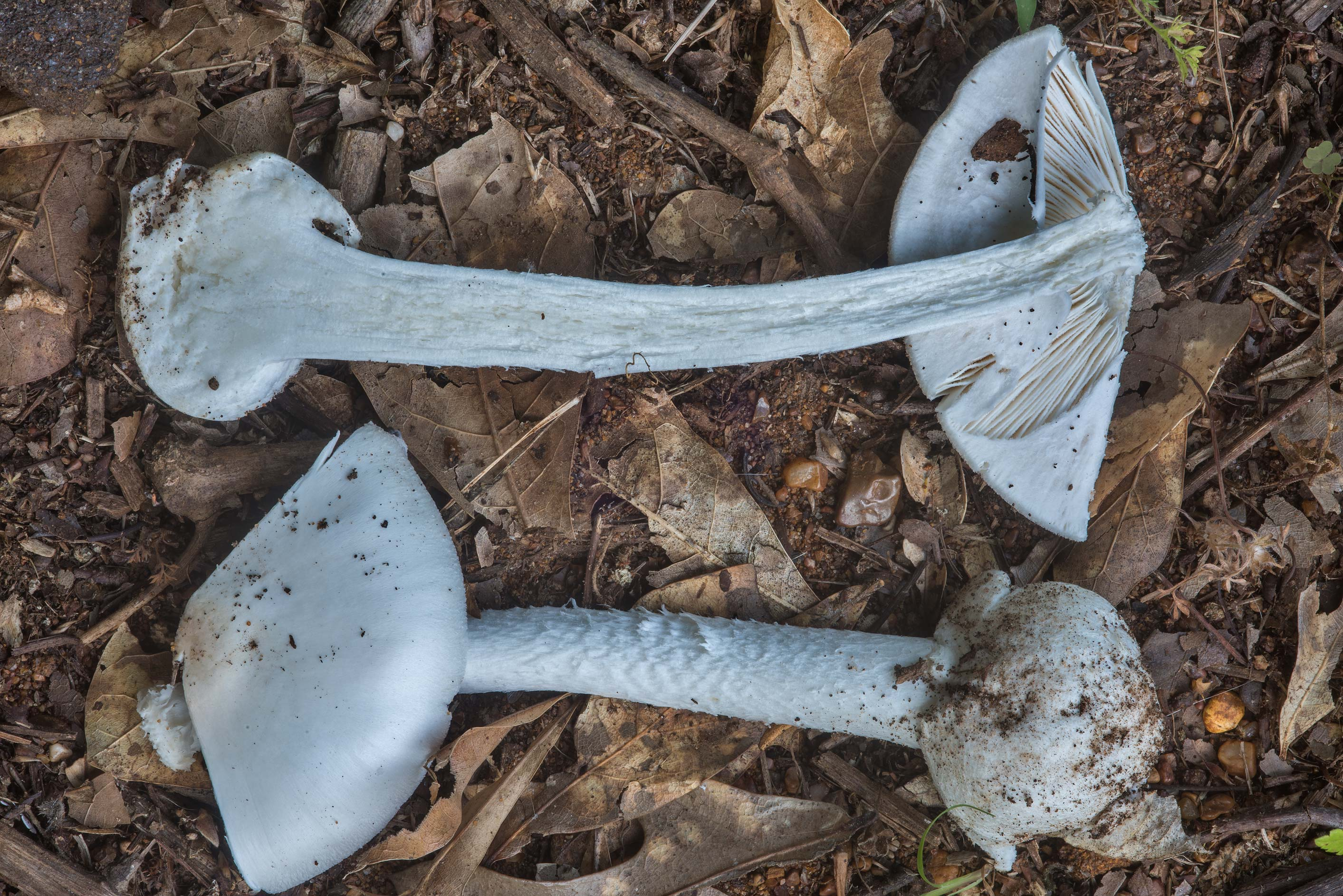 Dissected death cap mushroom (Amanita bisporigera...Creek Park. College Station, Texas