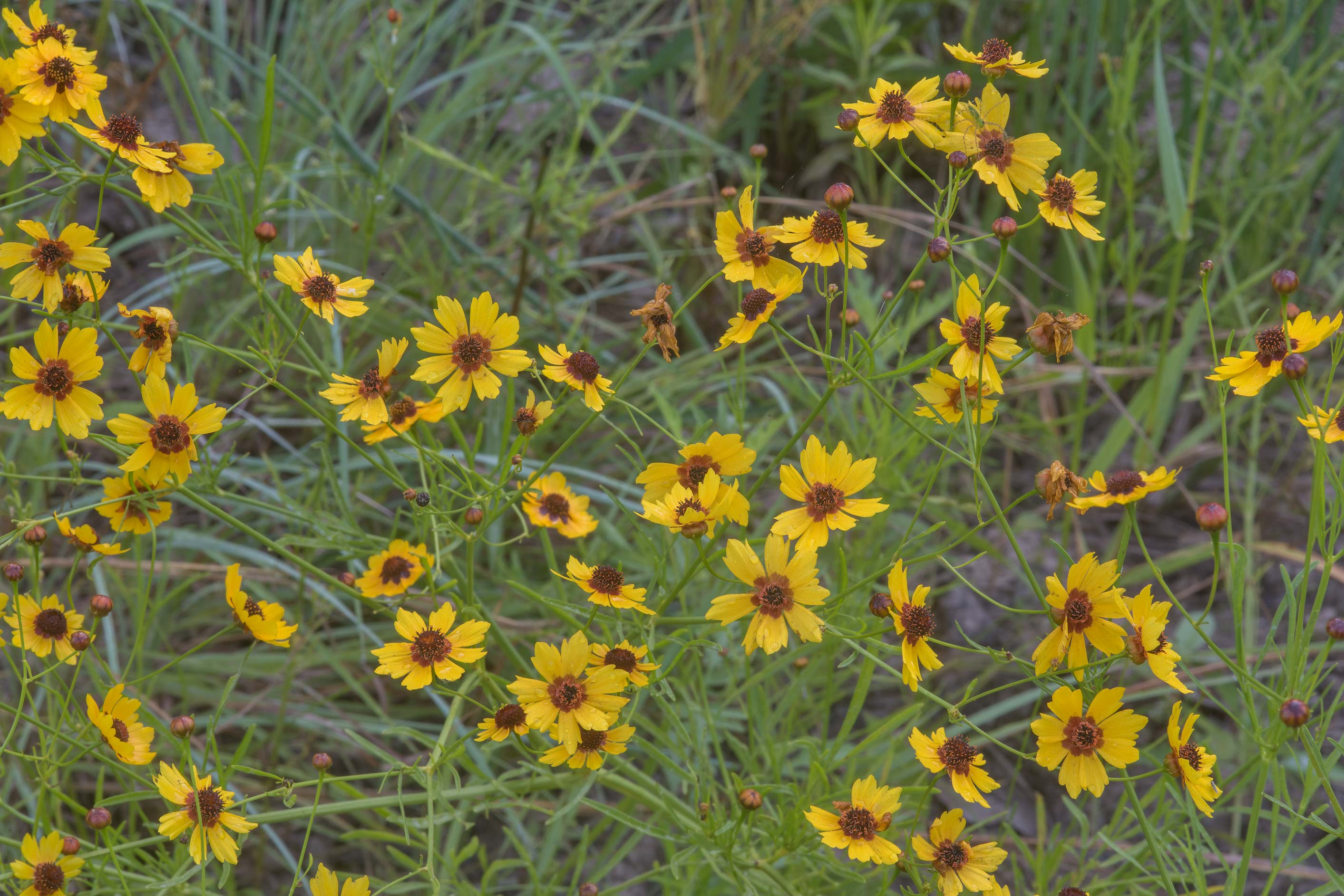Golden tickseed (Coreopsis tinctoria) on a...Creek Park. College Station, Texas