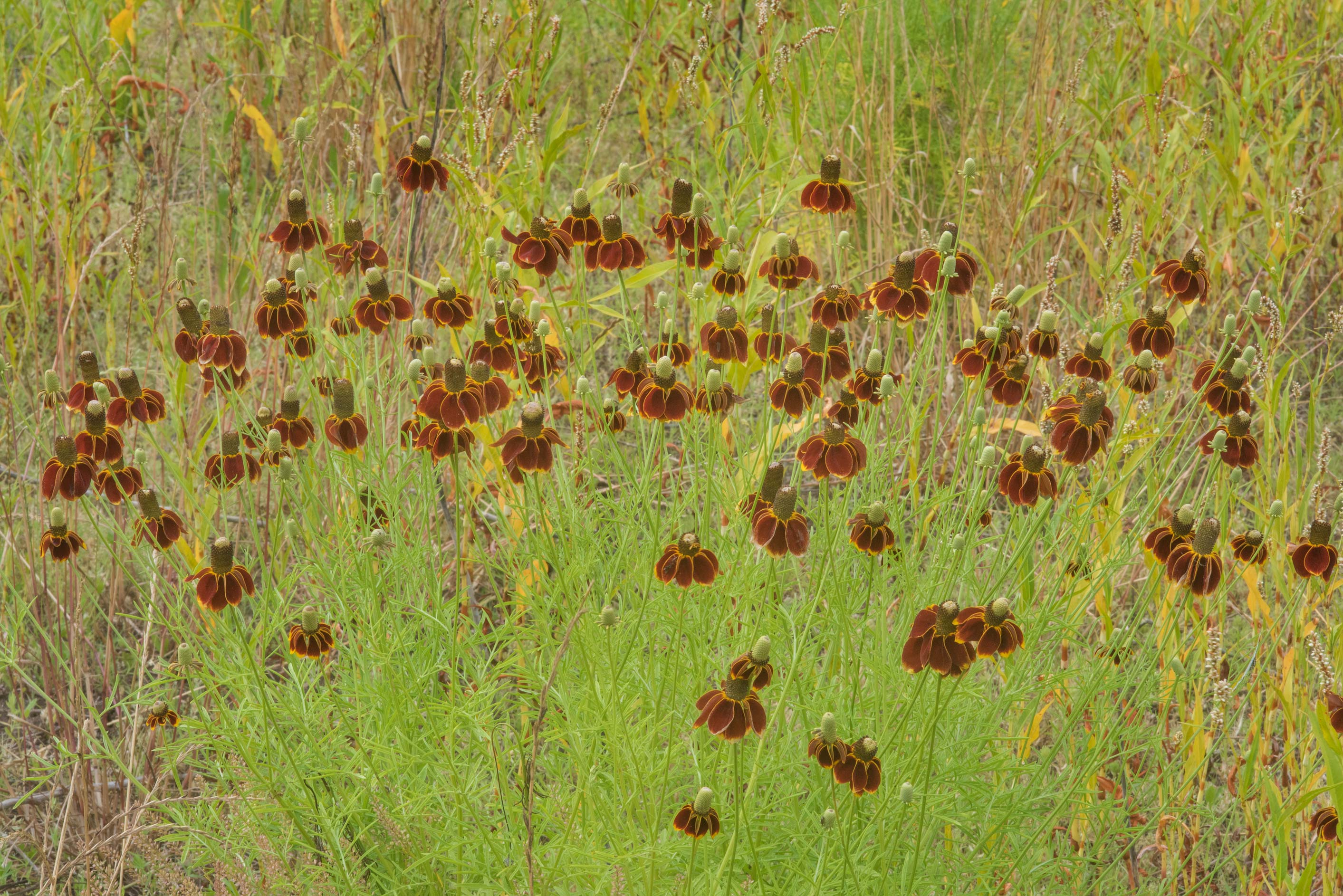 Dark colored Mexican hat flowers (Ratibida...State Historic Site. Washington, Texas