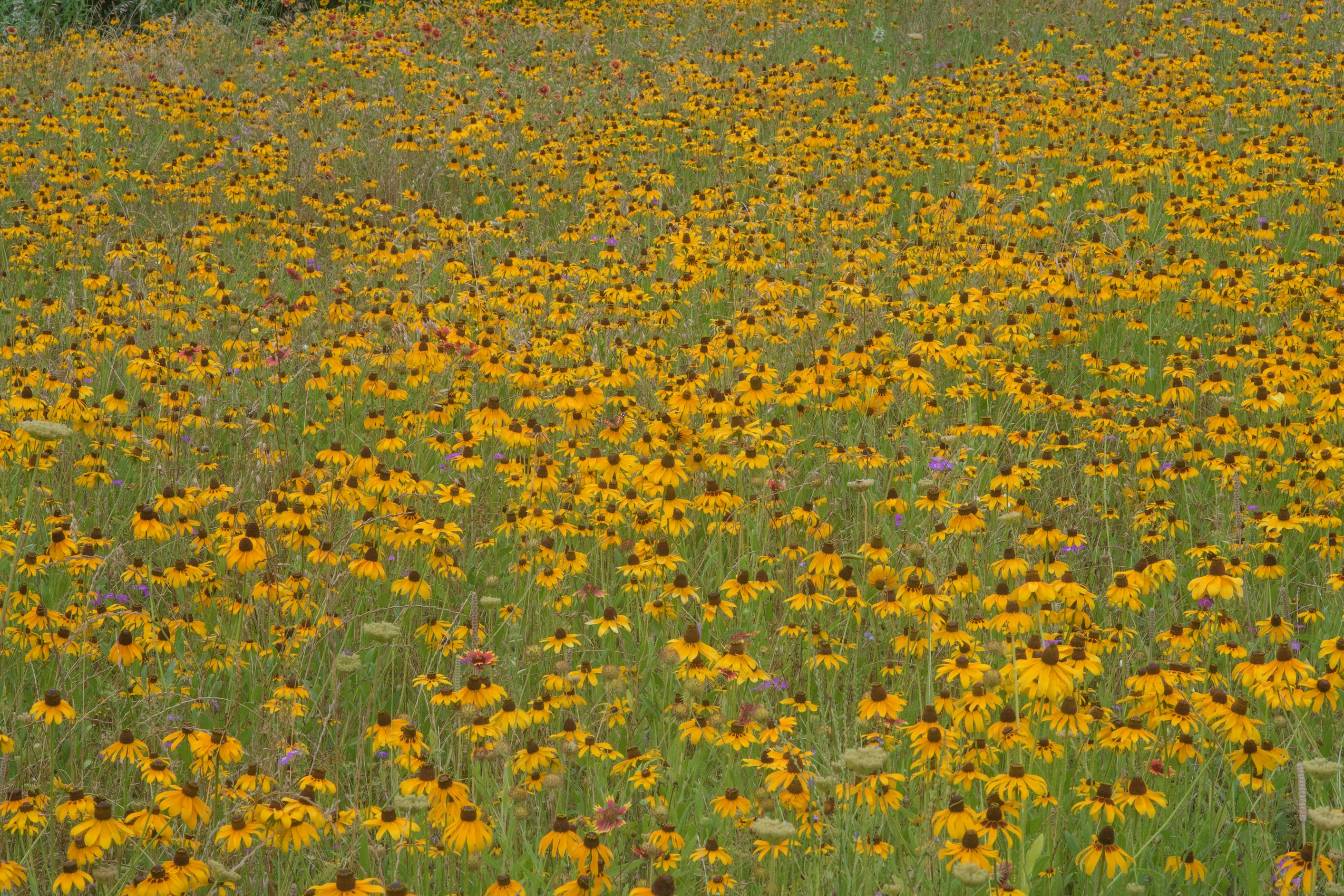 Flowers of black eyed susan (Rudbeckia hirta) in...State Historic Site. Washington, Texas