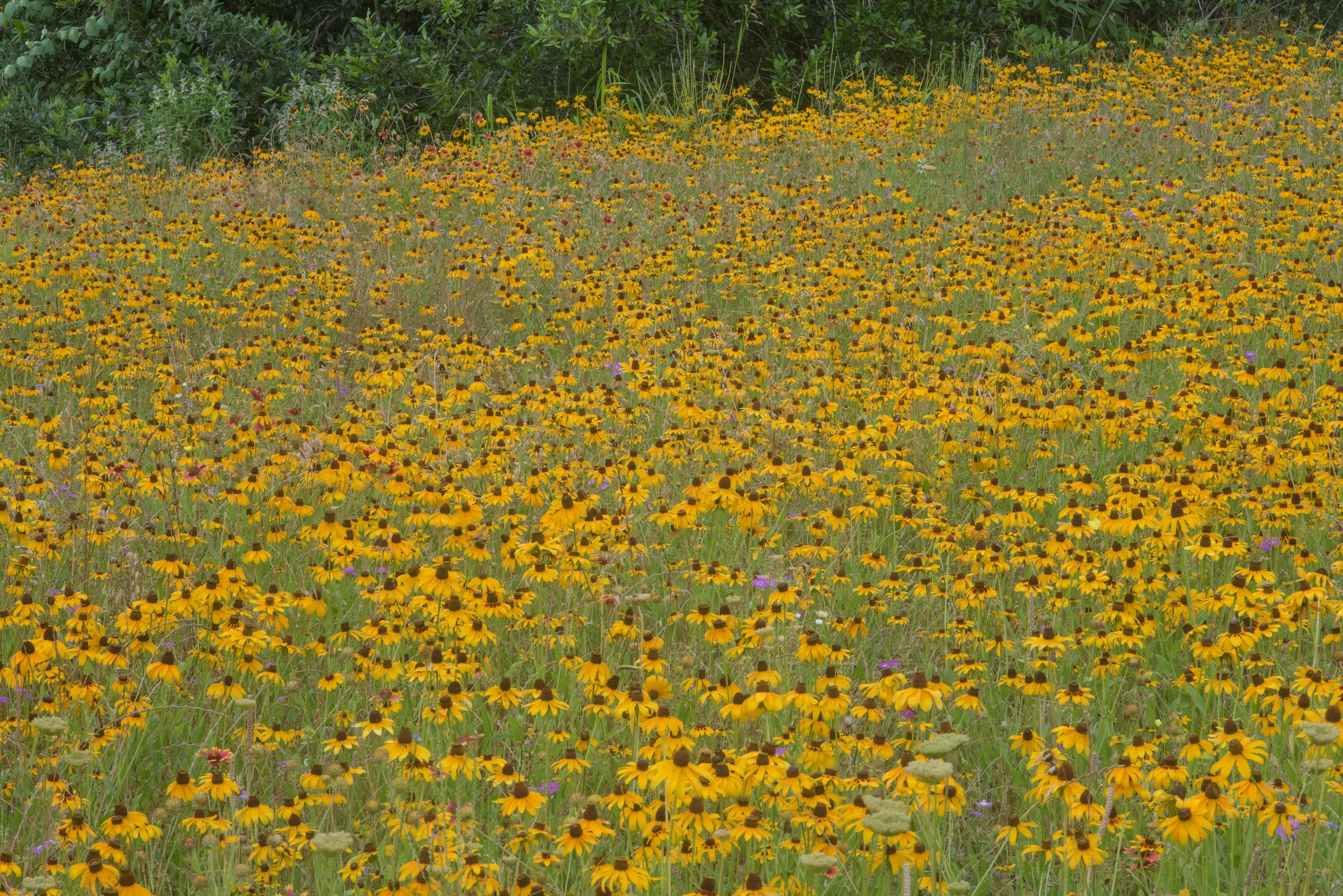 Field of black eyed susan flowers (Rudbeckia...State Historic Site. Washington, Texas