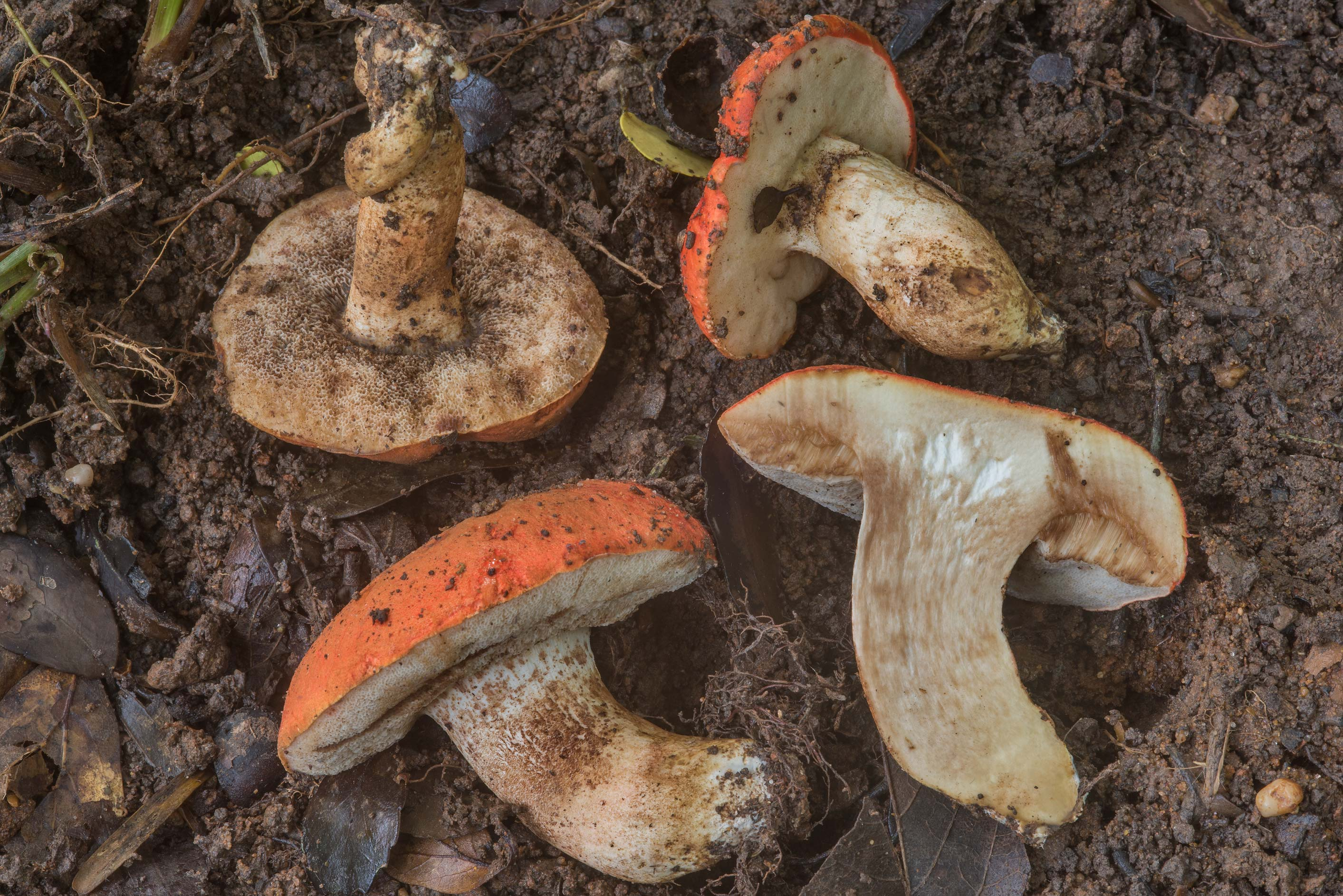 Group of burnt orange bolete mushrooms (Tylopilus...Creek Park. College Station, Texas