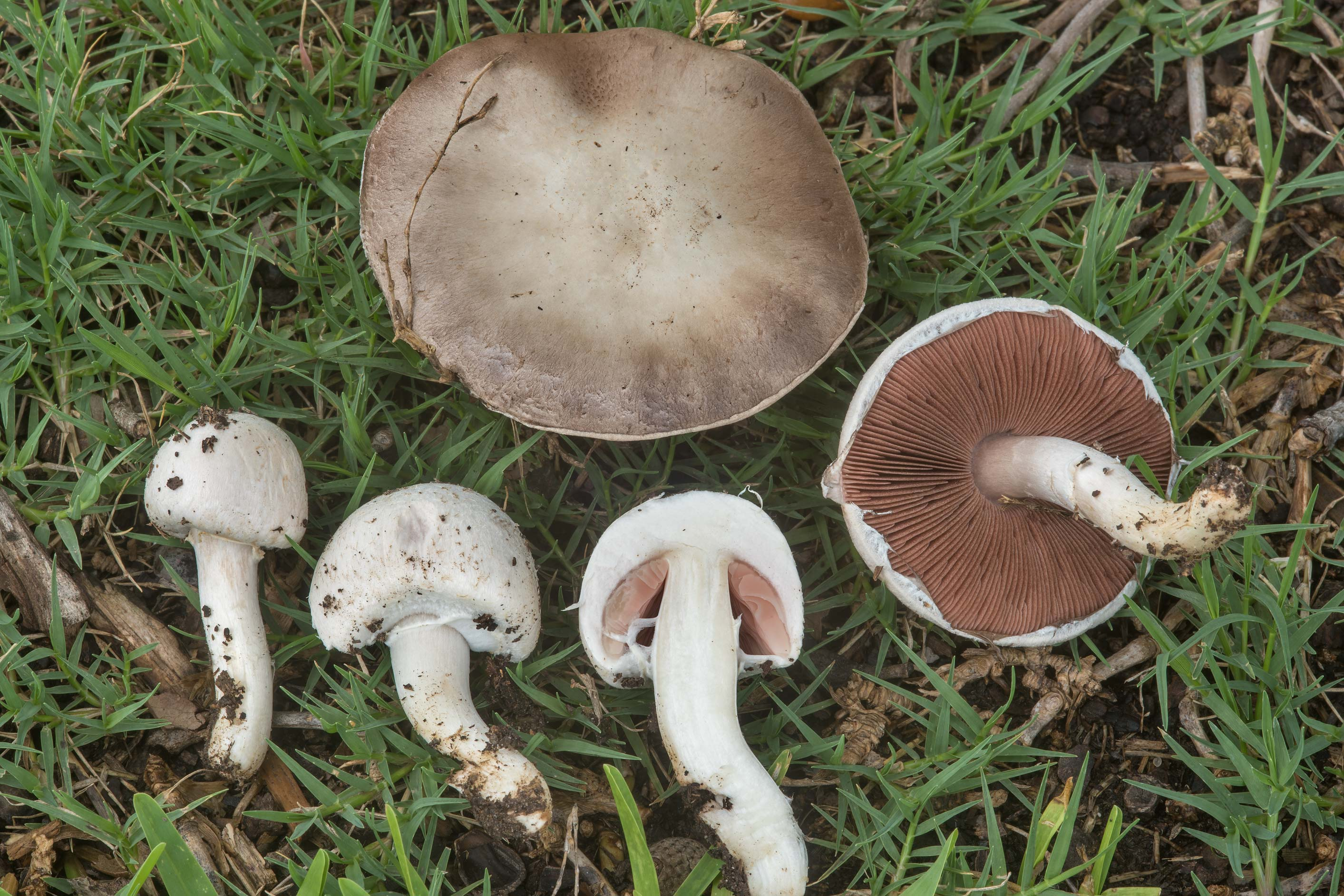 Meadow mushrooms (Agaricus campestris) on a lawn...at Texas Ave.. College Station, Texas
