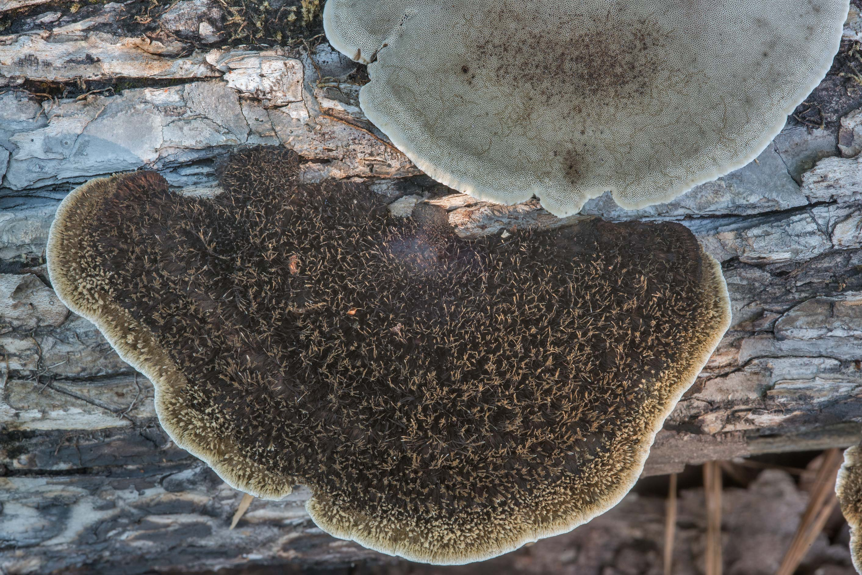 Caps of hairy polypore mushrooms Hexagonia...National Forest. Richards, Texas