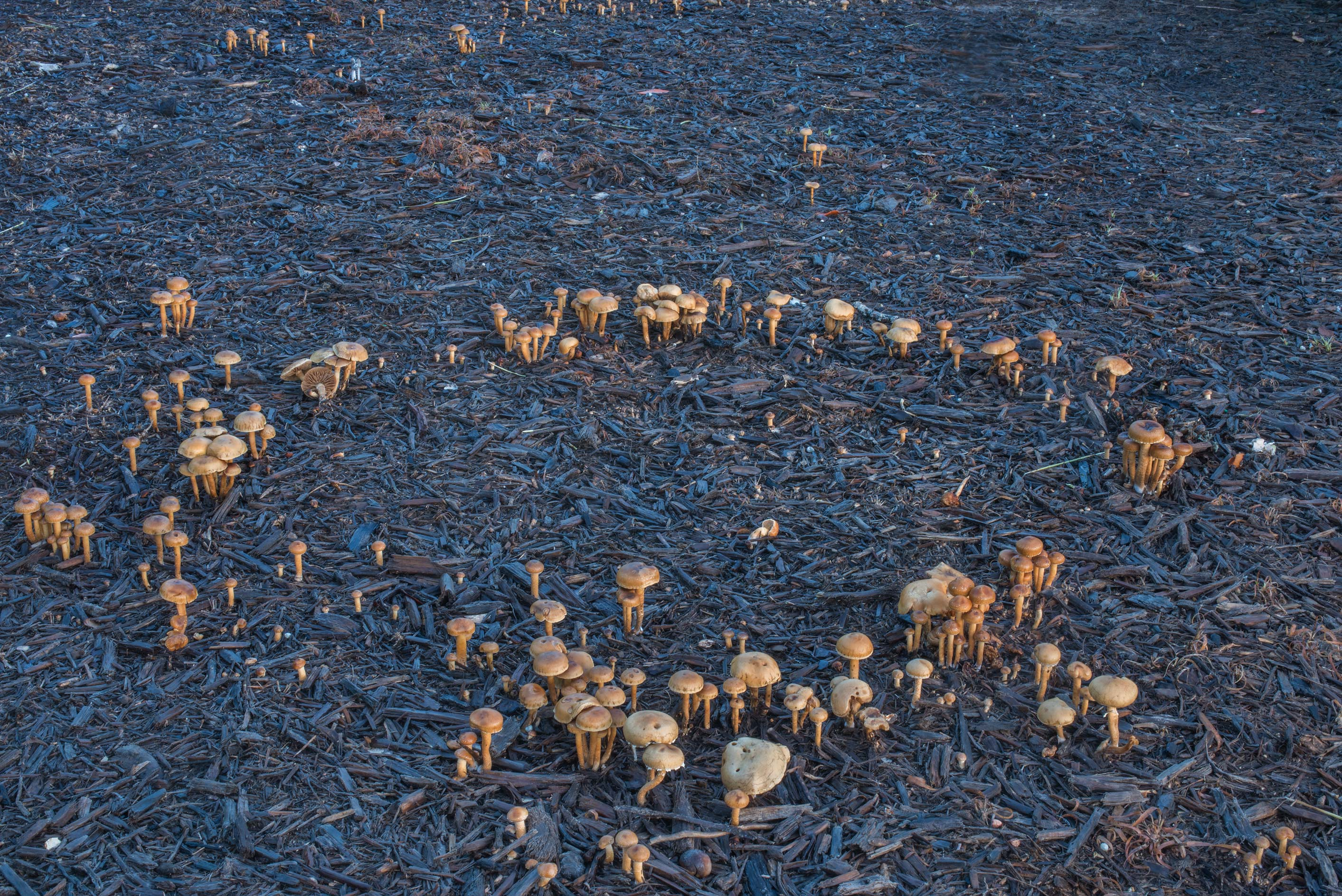 Fairy ring of common fieldcap mushrooms (Agrocybe...Creek Park. College Station, Texas